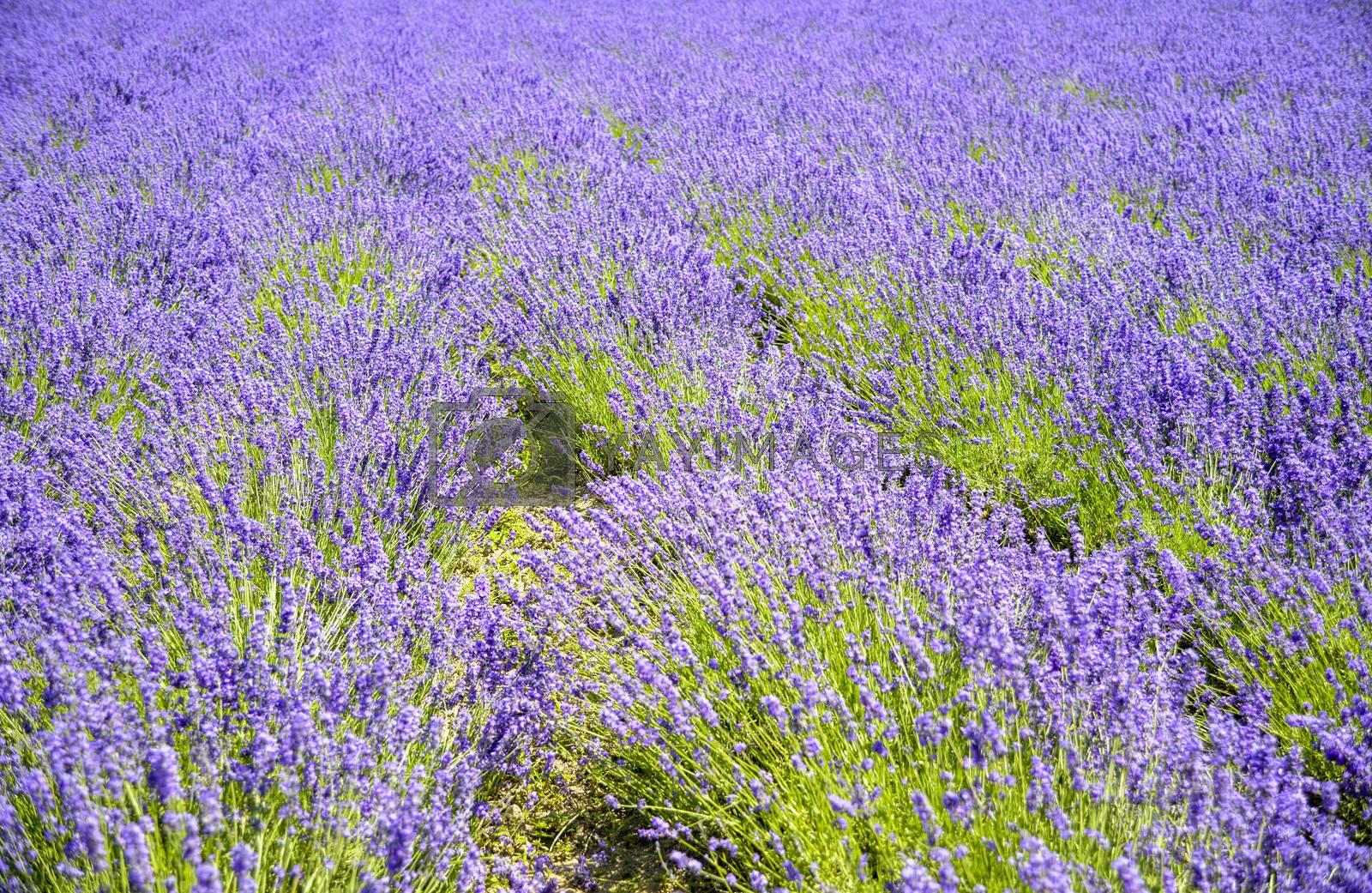 Plenty of lavender flower