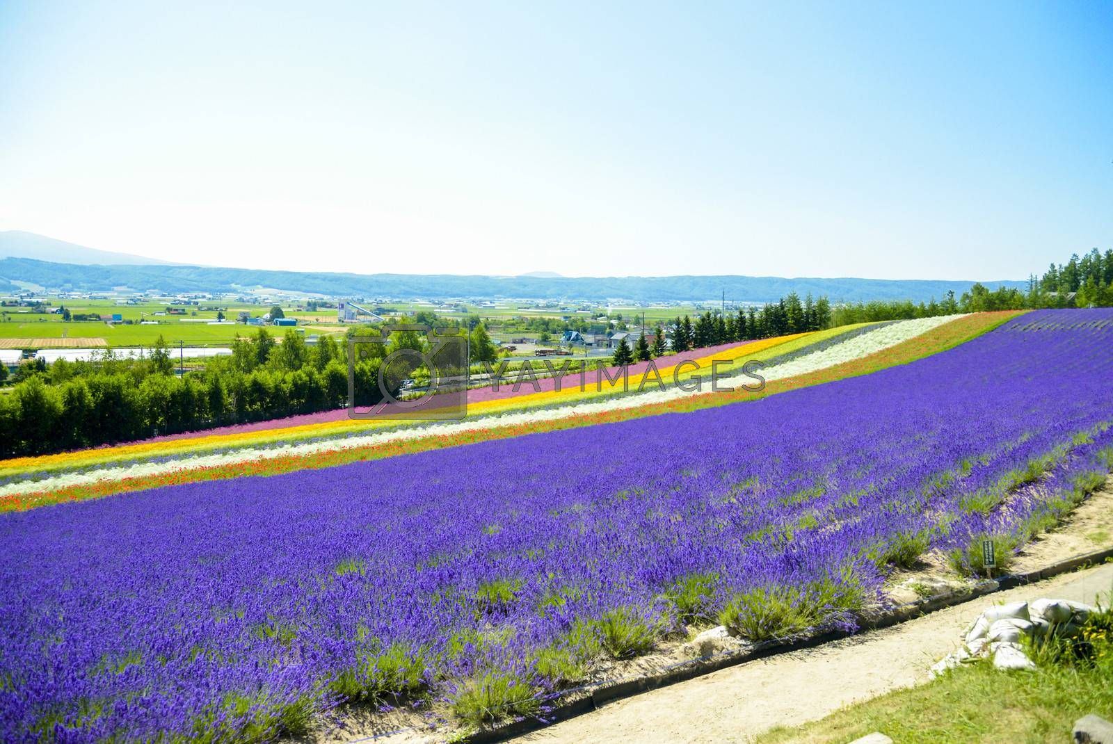 Lavender and colorful flower in the field6