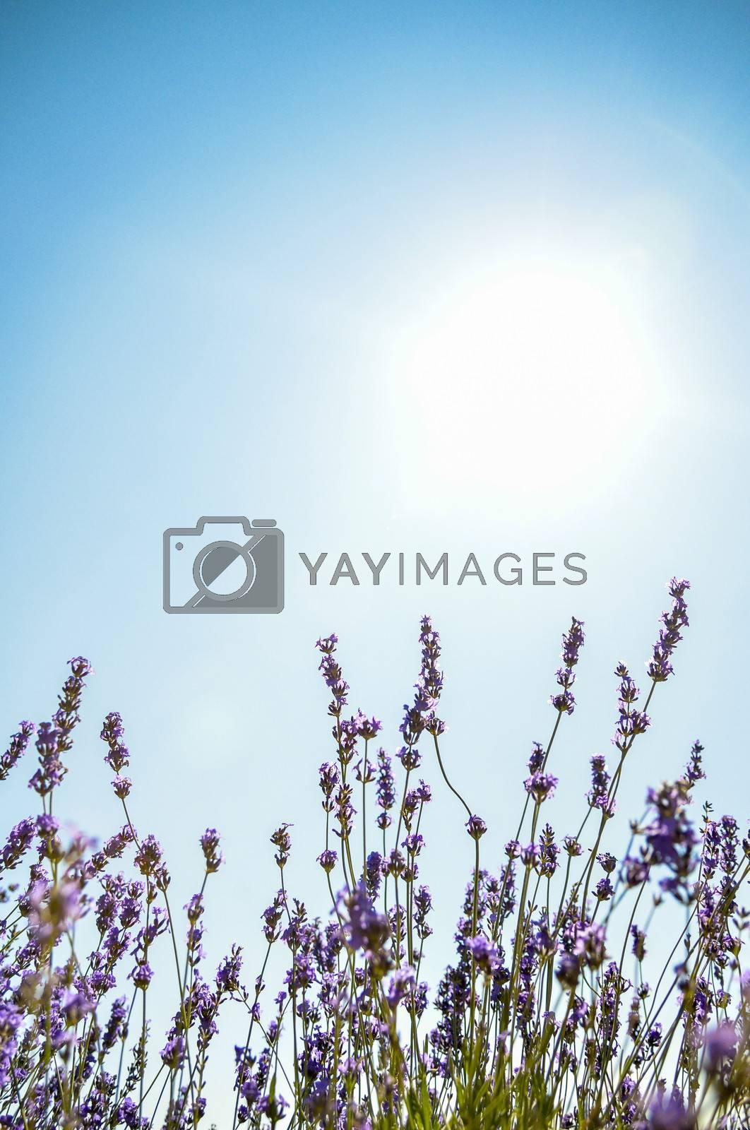 Lavender flower with blue sky3