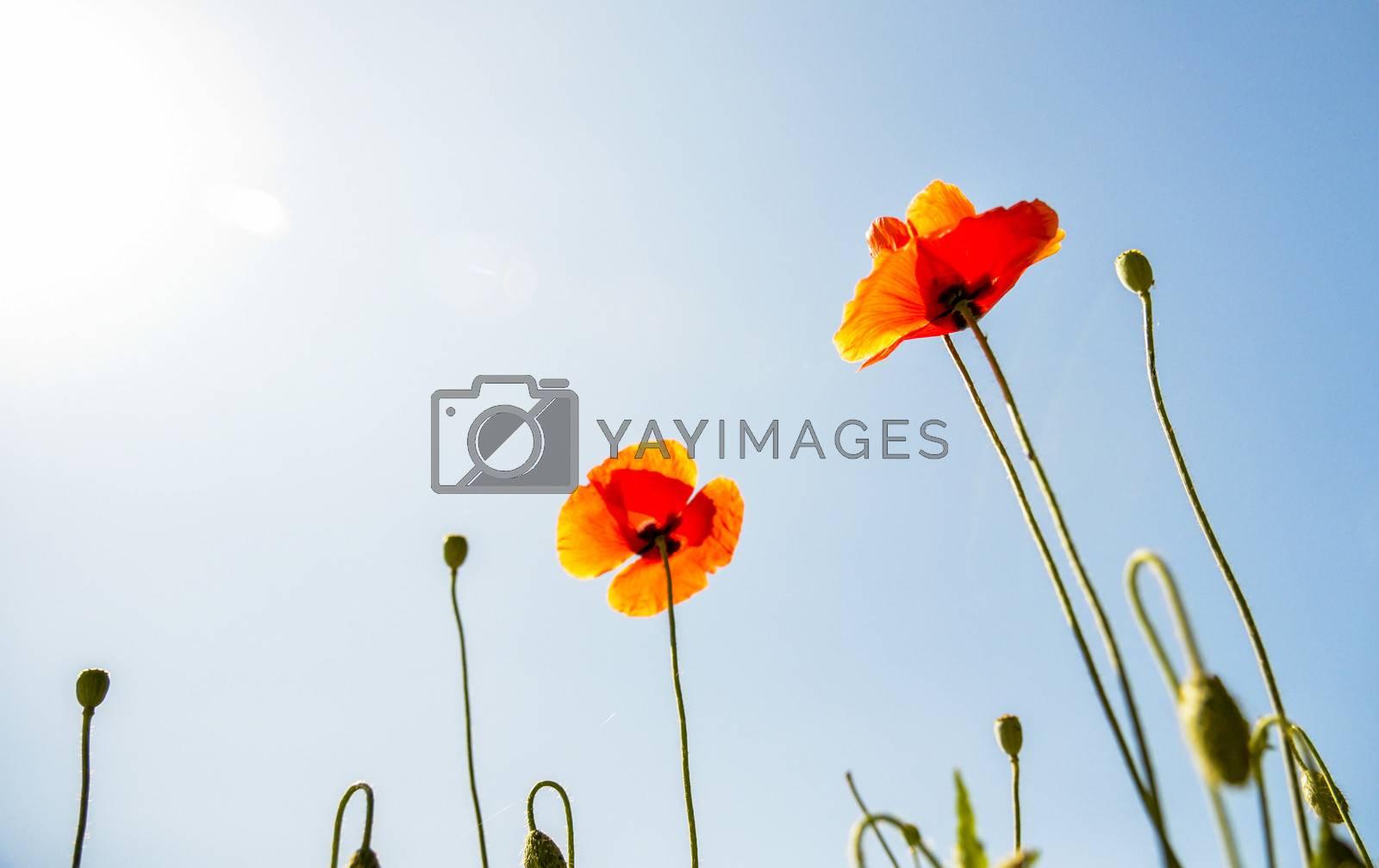 Orange poppy flower with blue sky1