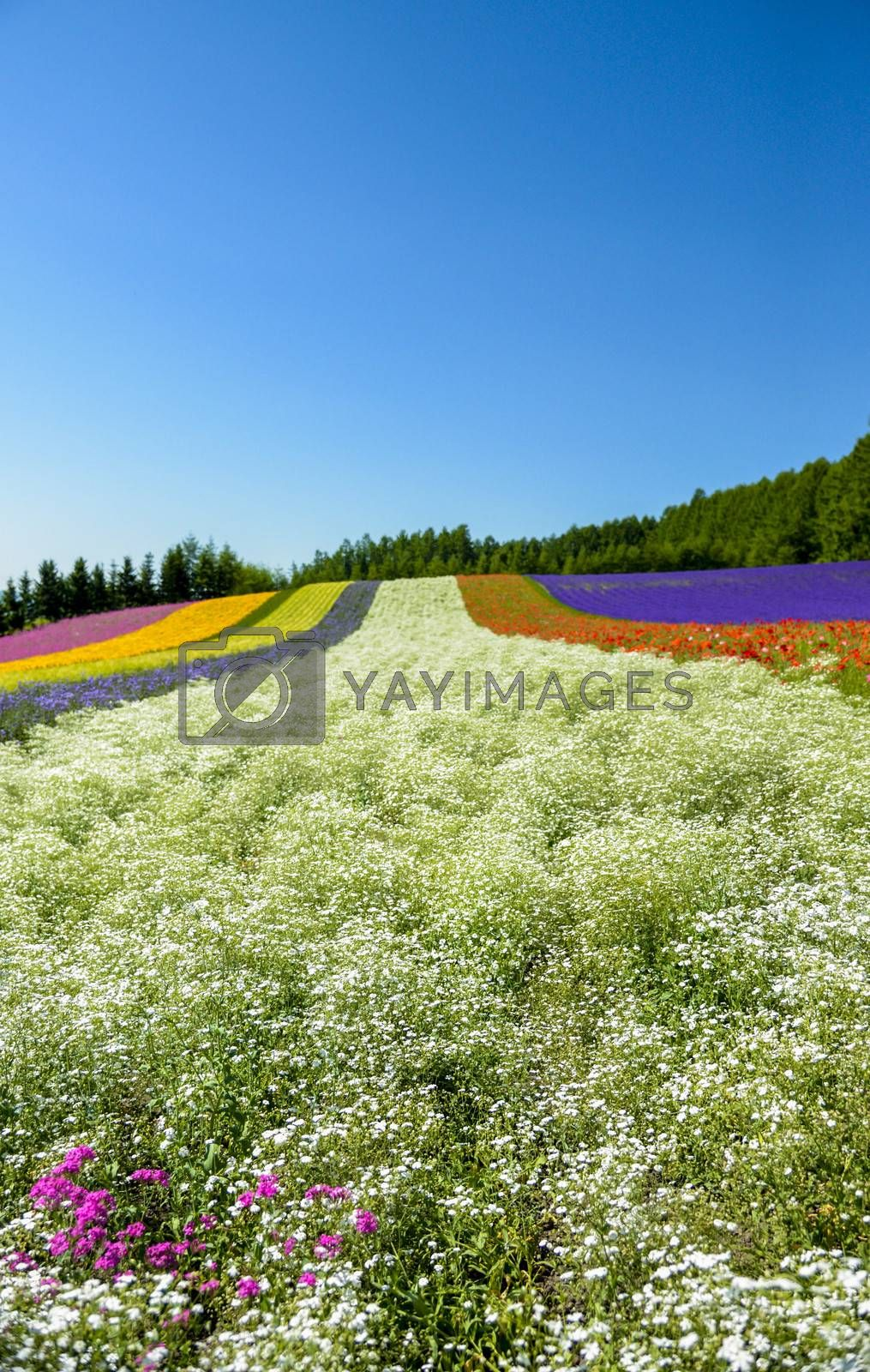 Colorful flower in the row with blue sky8