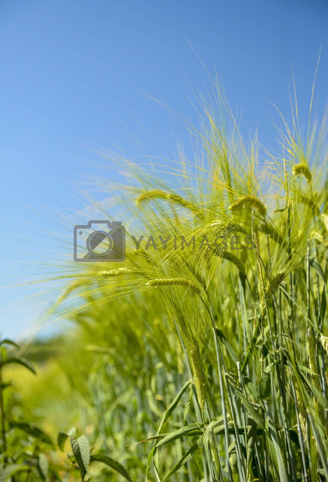 Barley ears with blue sky