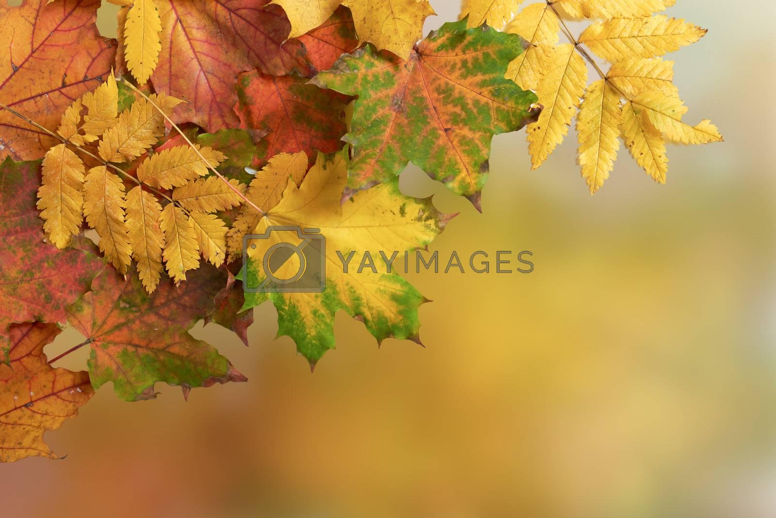 autumn leaves maple against the blue sky and sun