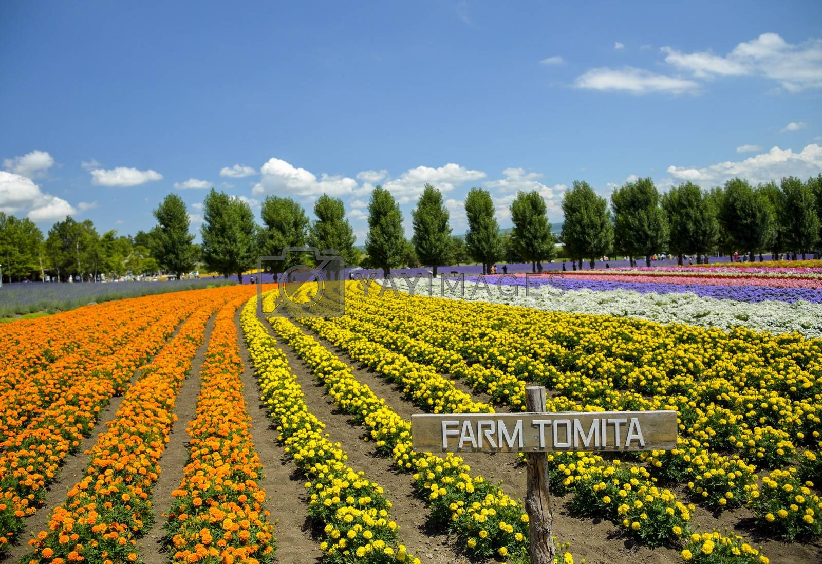 Row of colorful flower in Tomita farm1 by gjeerawut