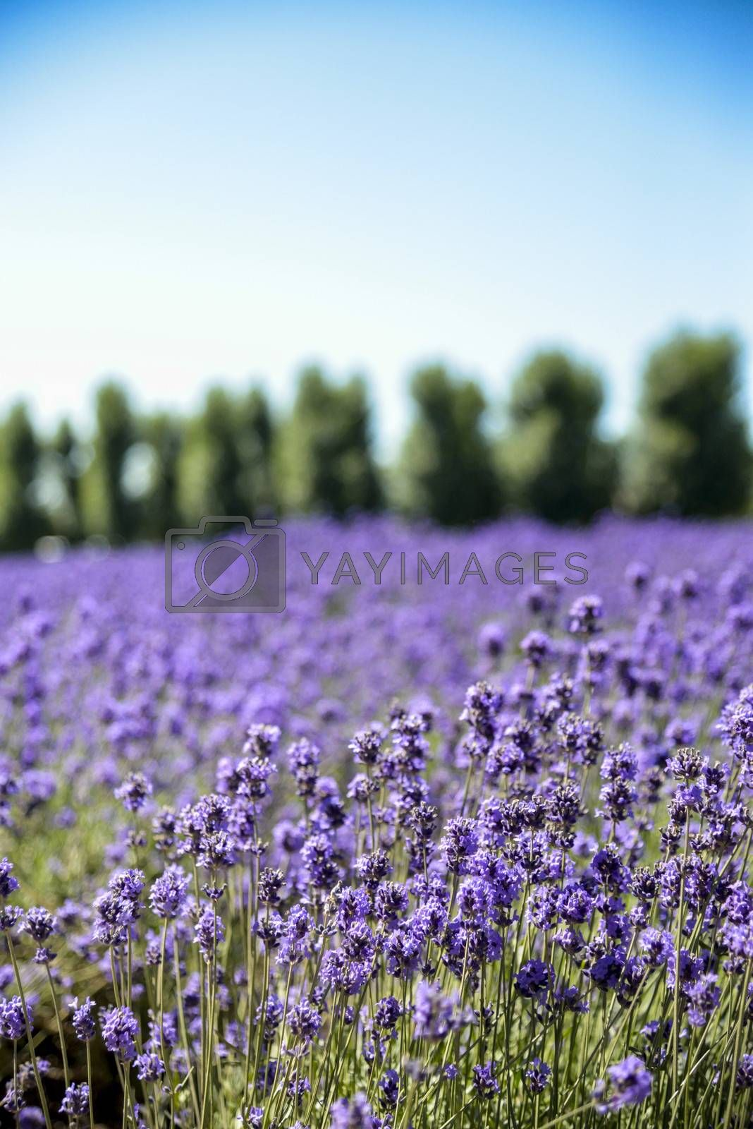 Lavender flower field with blue sky3