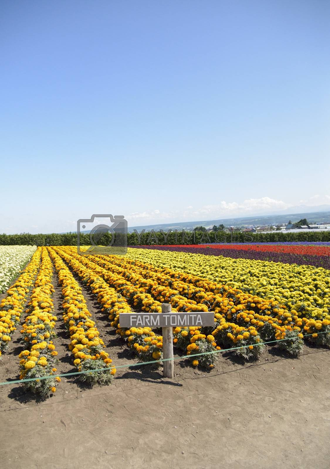 Row of colorful flowers with sunshine6