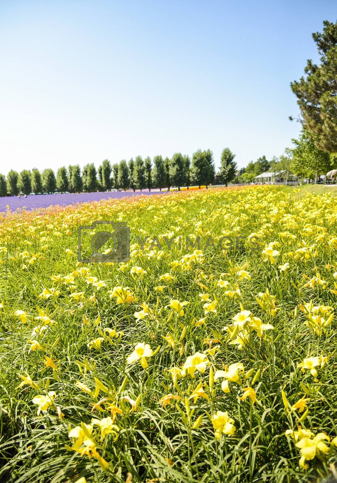 Row of colorful flowers with sunshine3