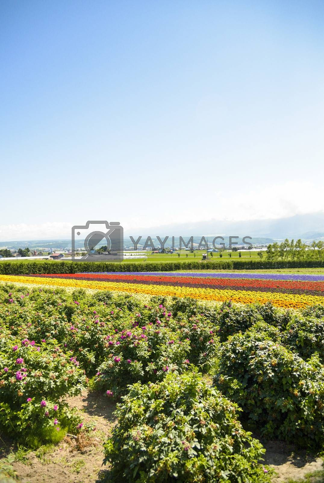 Row of colorful flowers with sunshine2