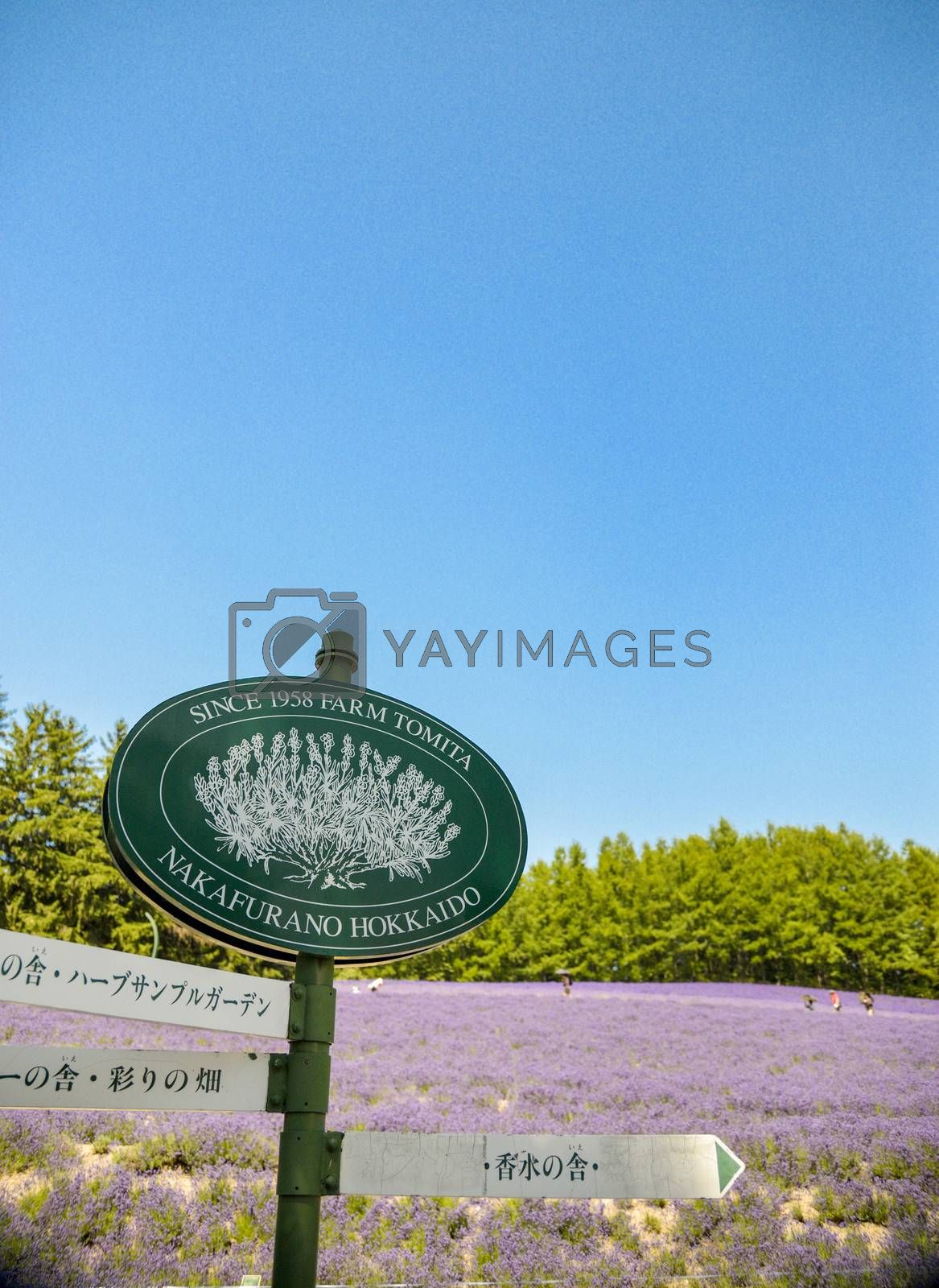 Lavender field in Tomita Farm Japan2