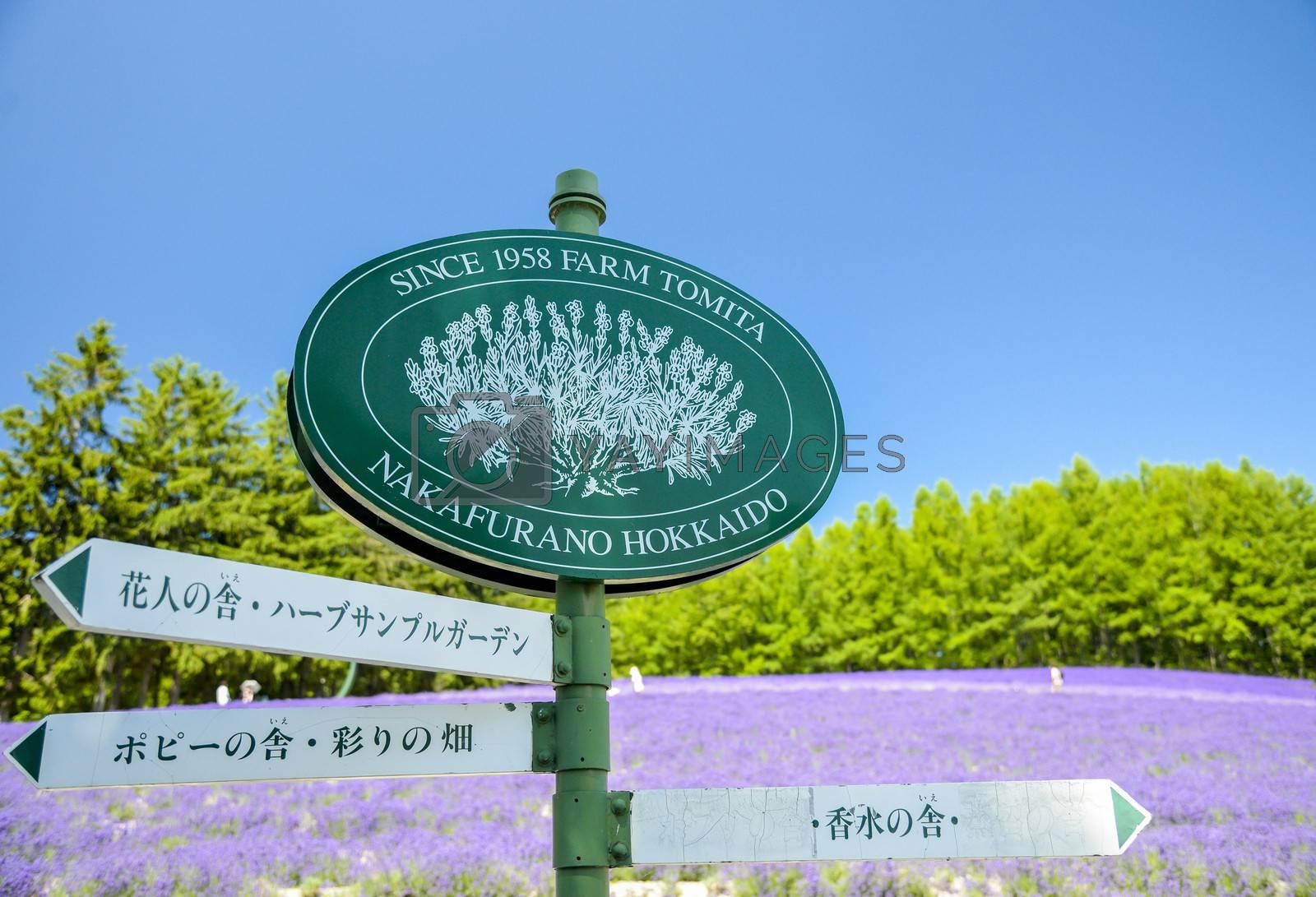 Lavender field in Tomita Farm Japan1