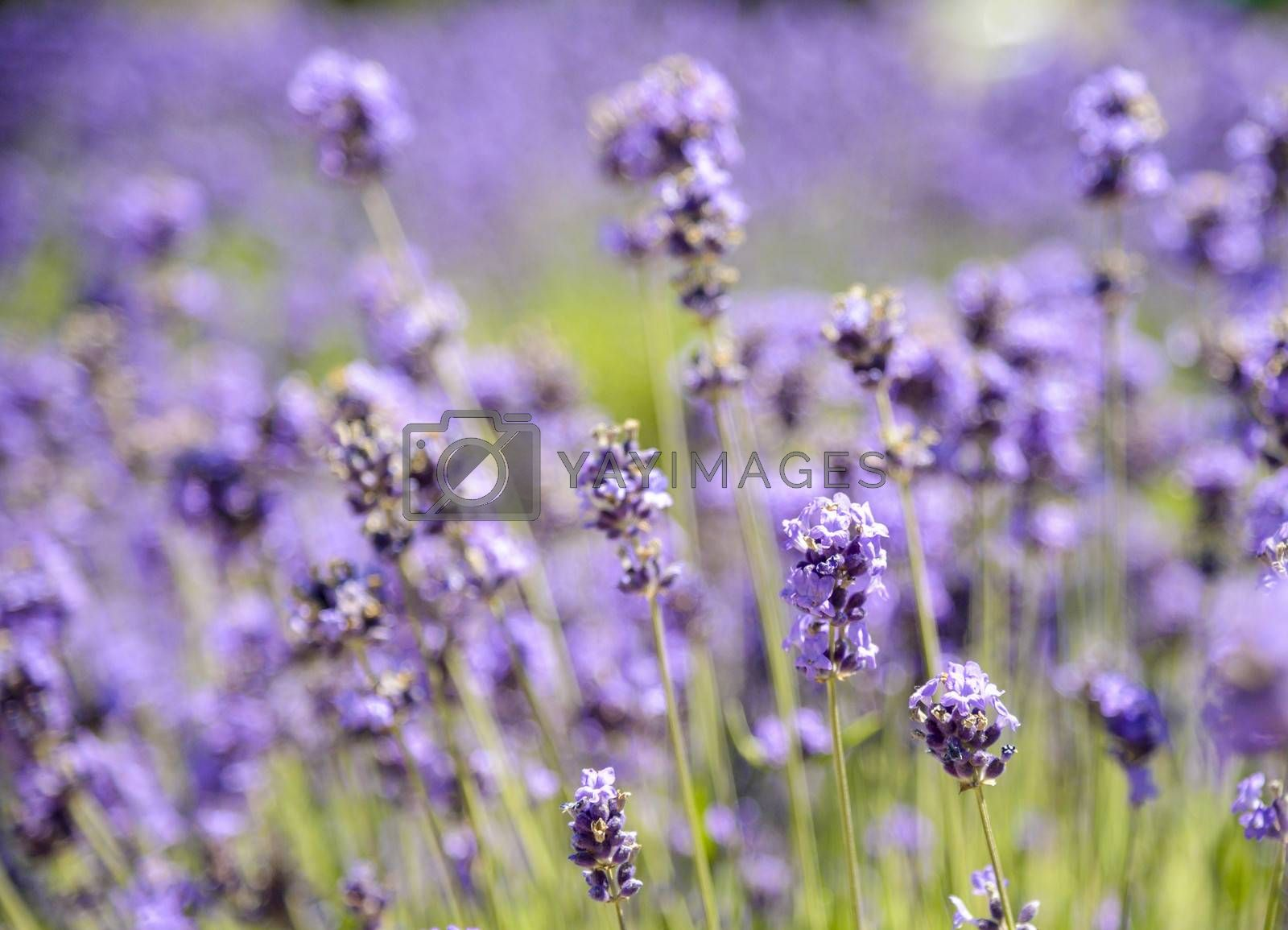 Plenty Lavender in the field3