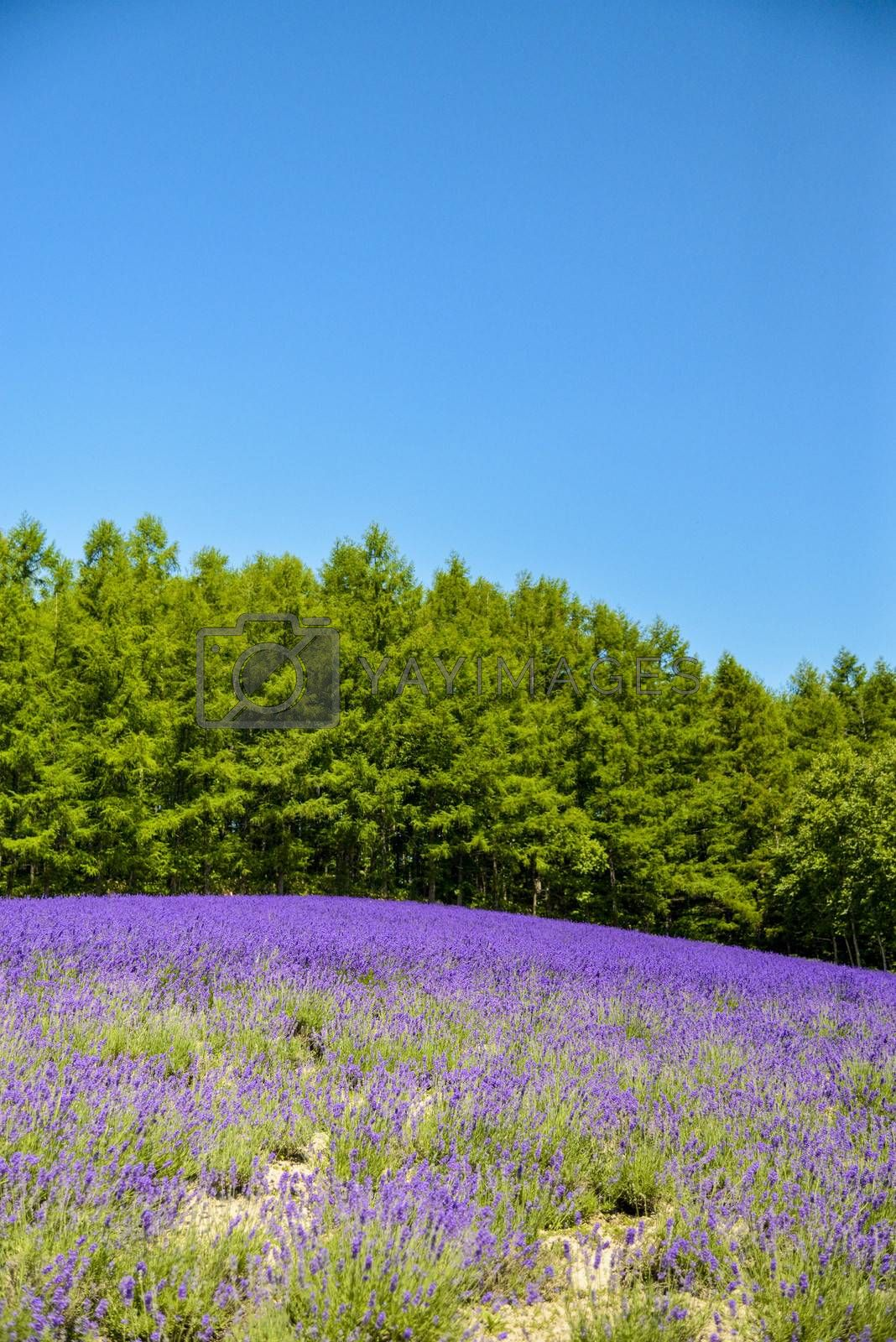 Lavender field with blue sky2