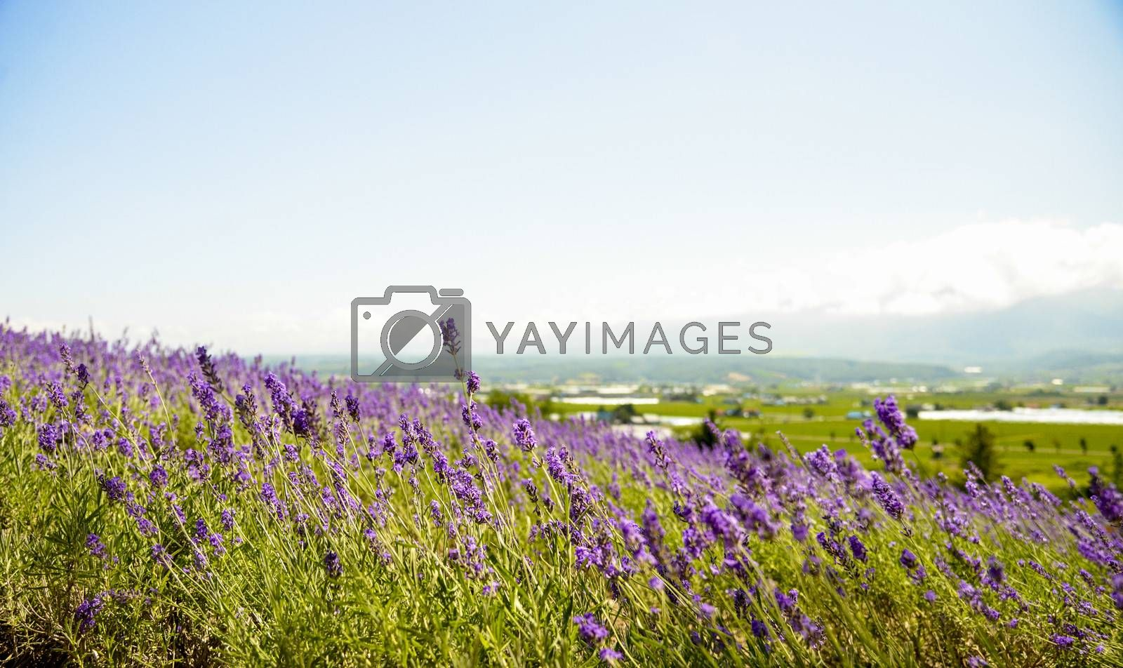 Lavender with sunshine5