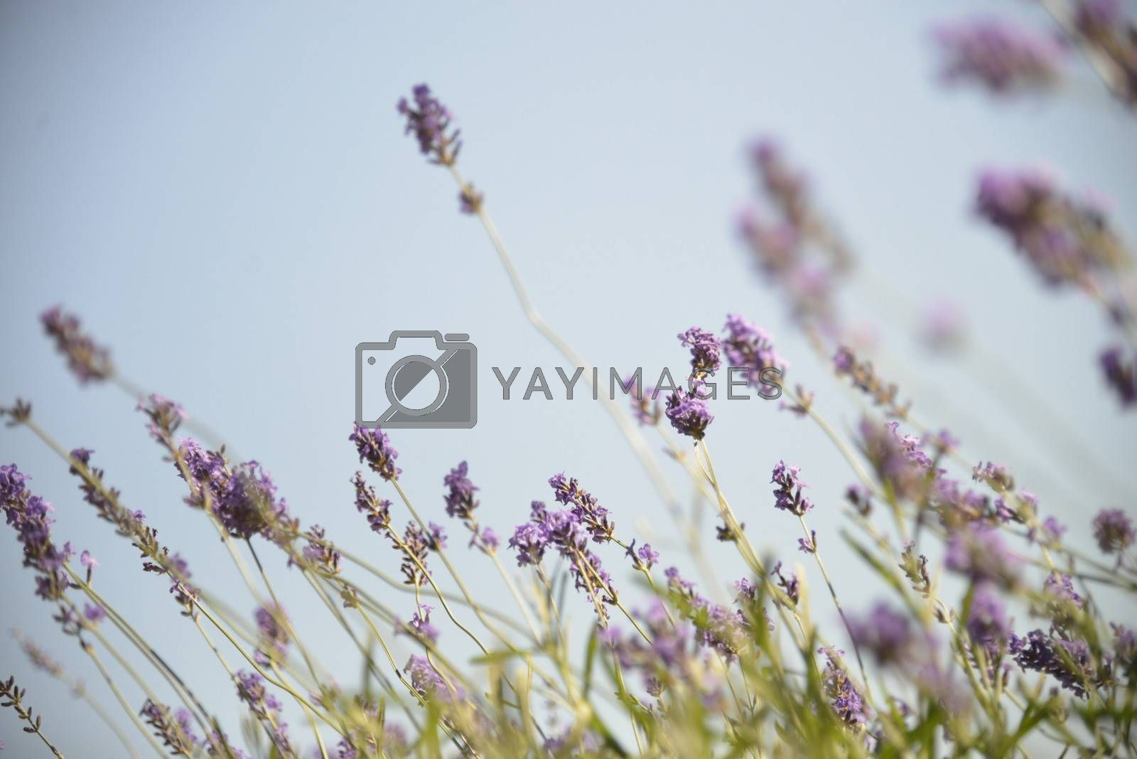 Lavender with sunshine3