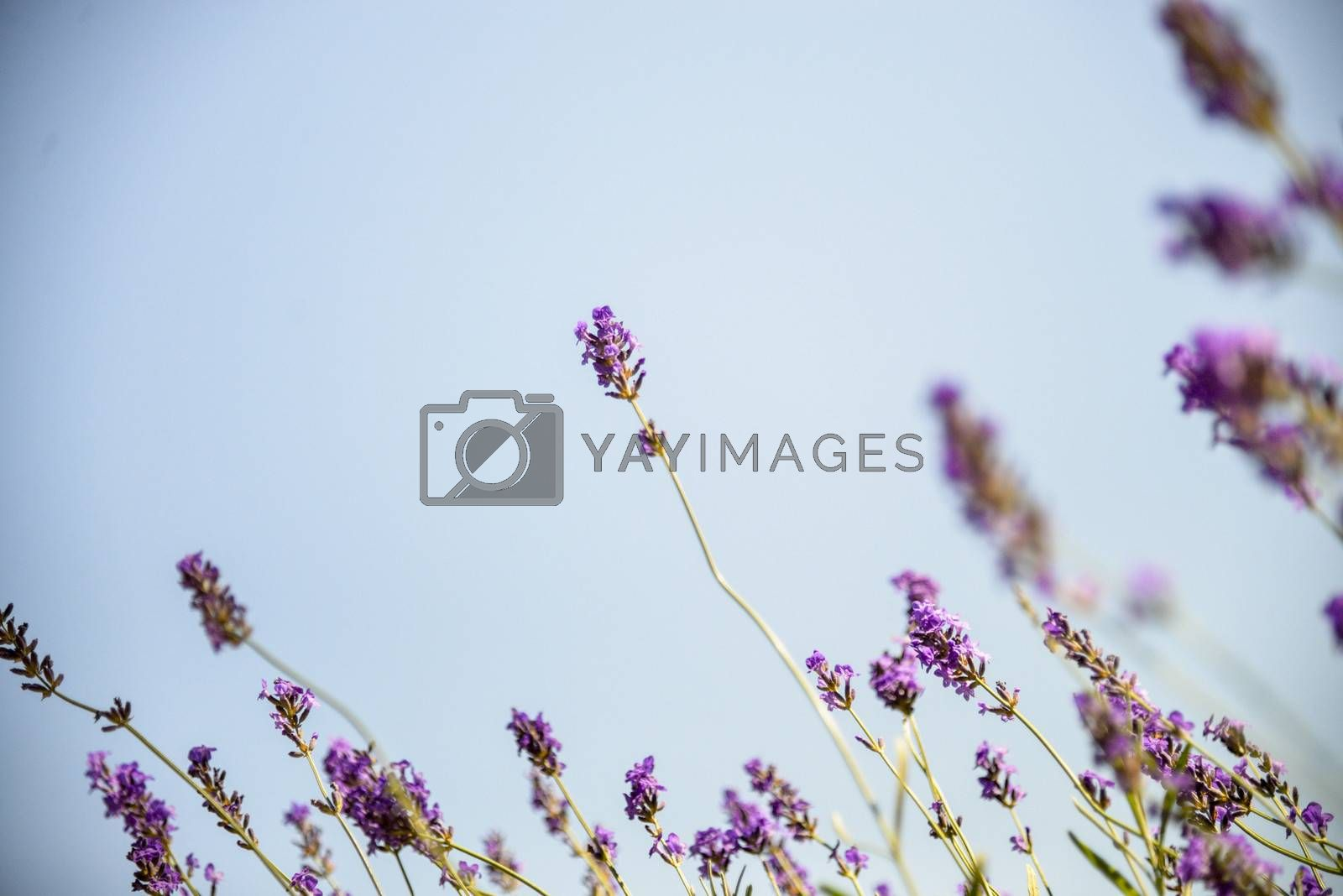 Lavender with sunshine2