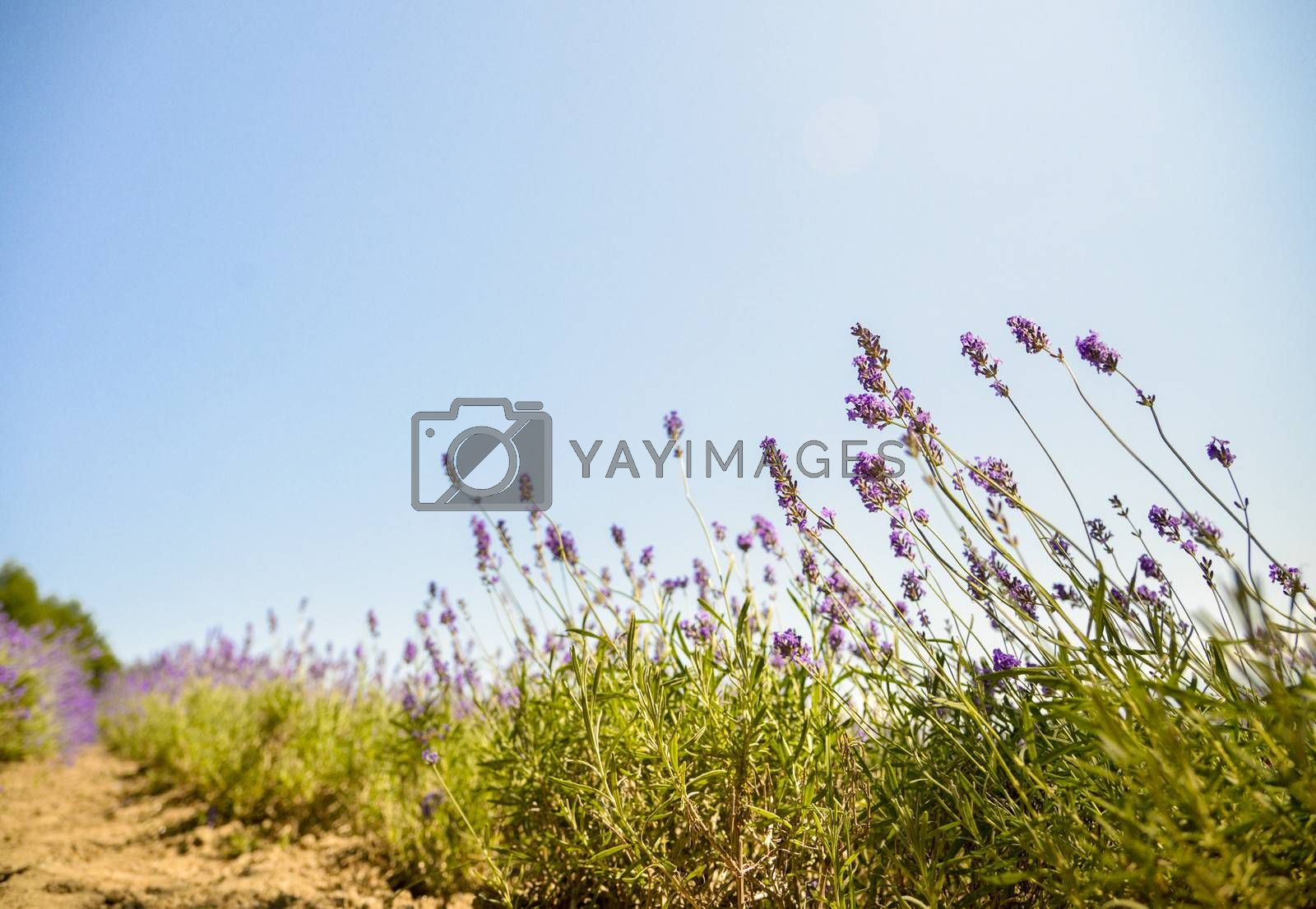 Lavender with sunshine1