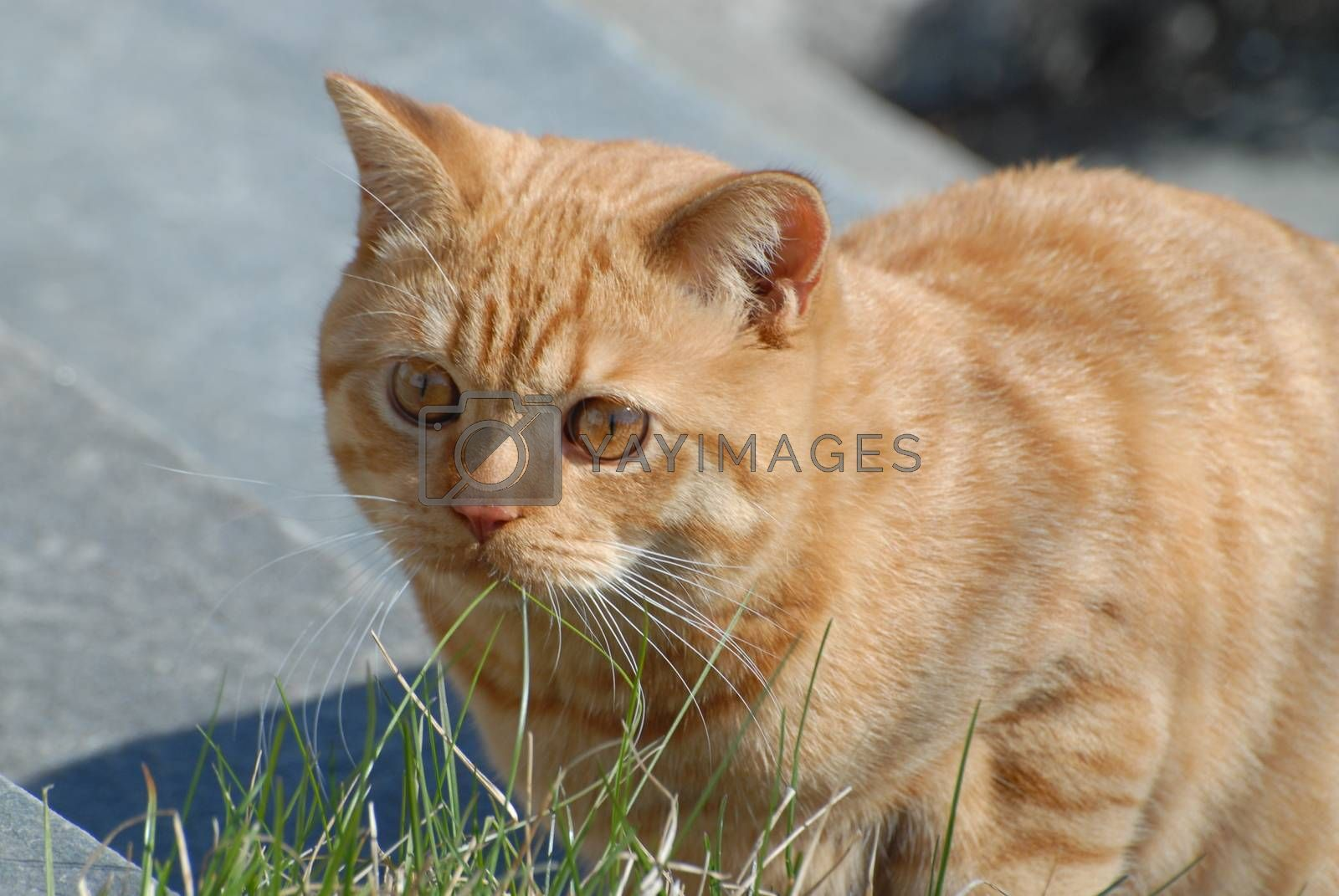 British shorthair cat by Bildehagen