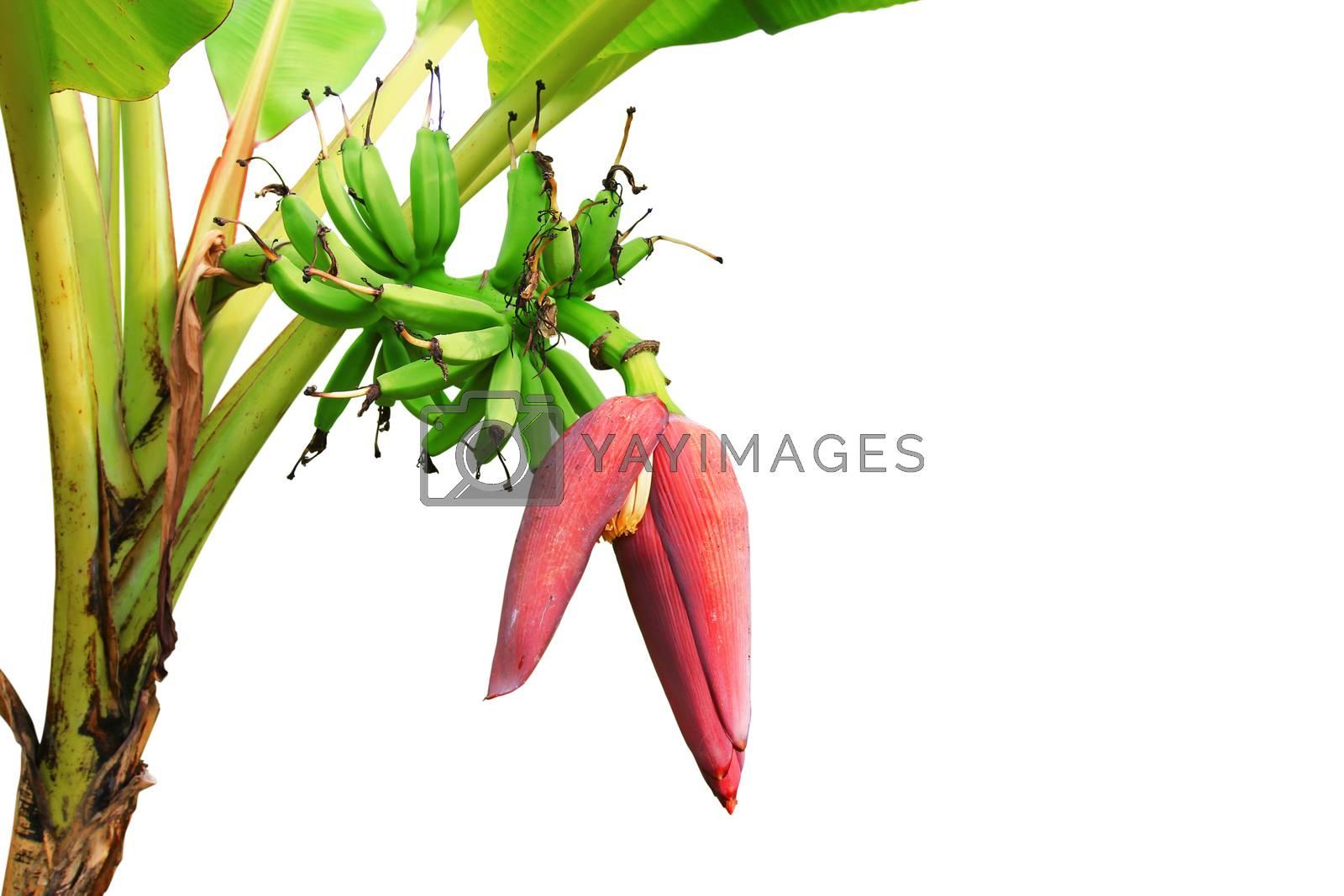 blossom of the banana tree