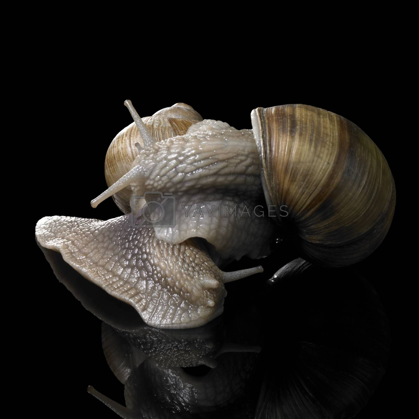 studio photography of two Grapevine snails on each other in black reflective back