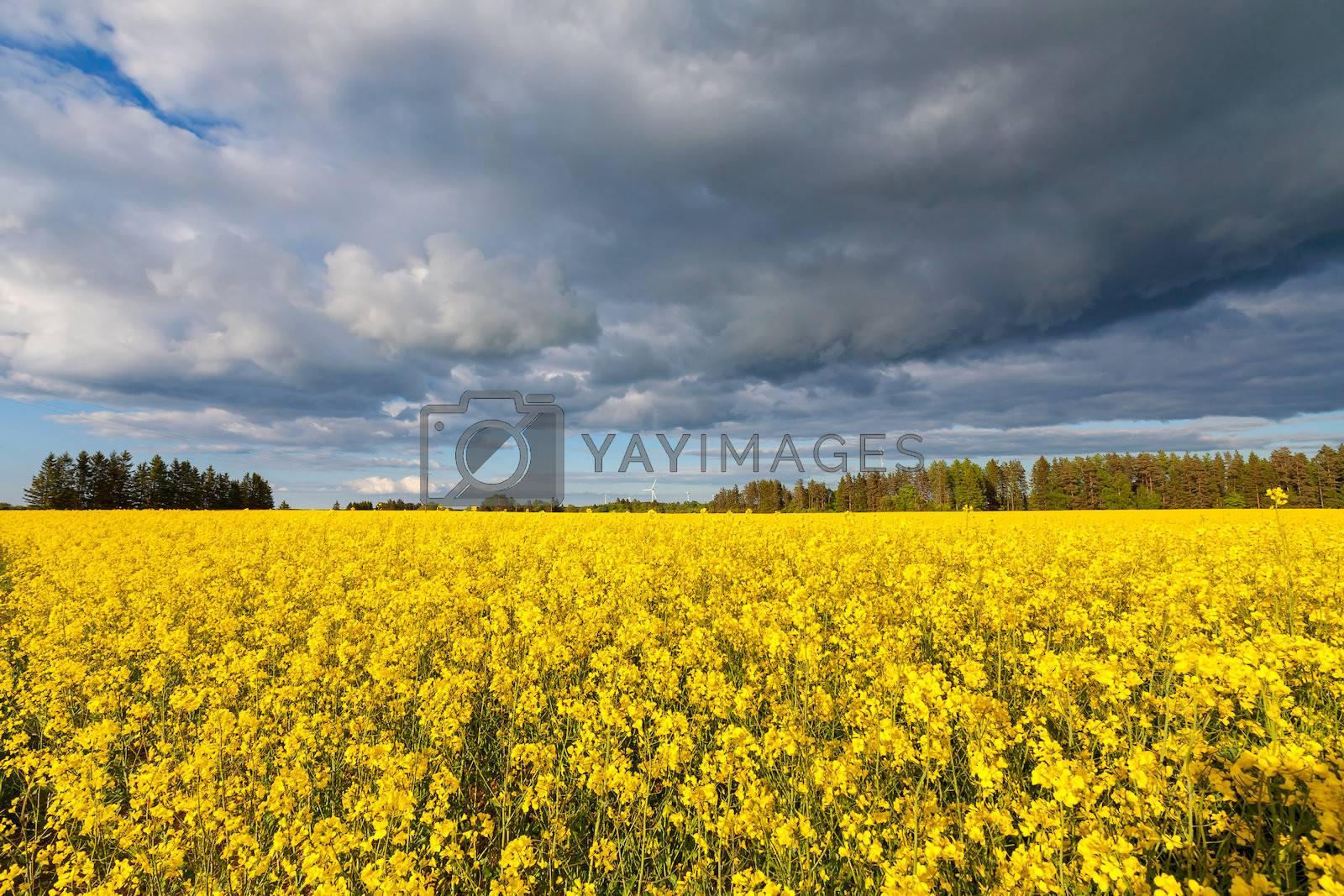 Storm over rapeseed field. Estonia, Europe