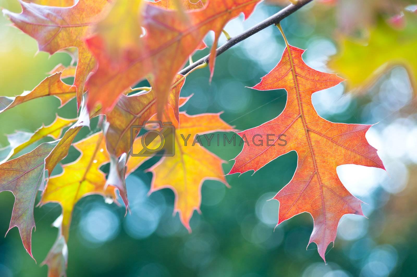 Colourful autumn maple leaves closeup background