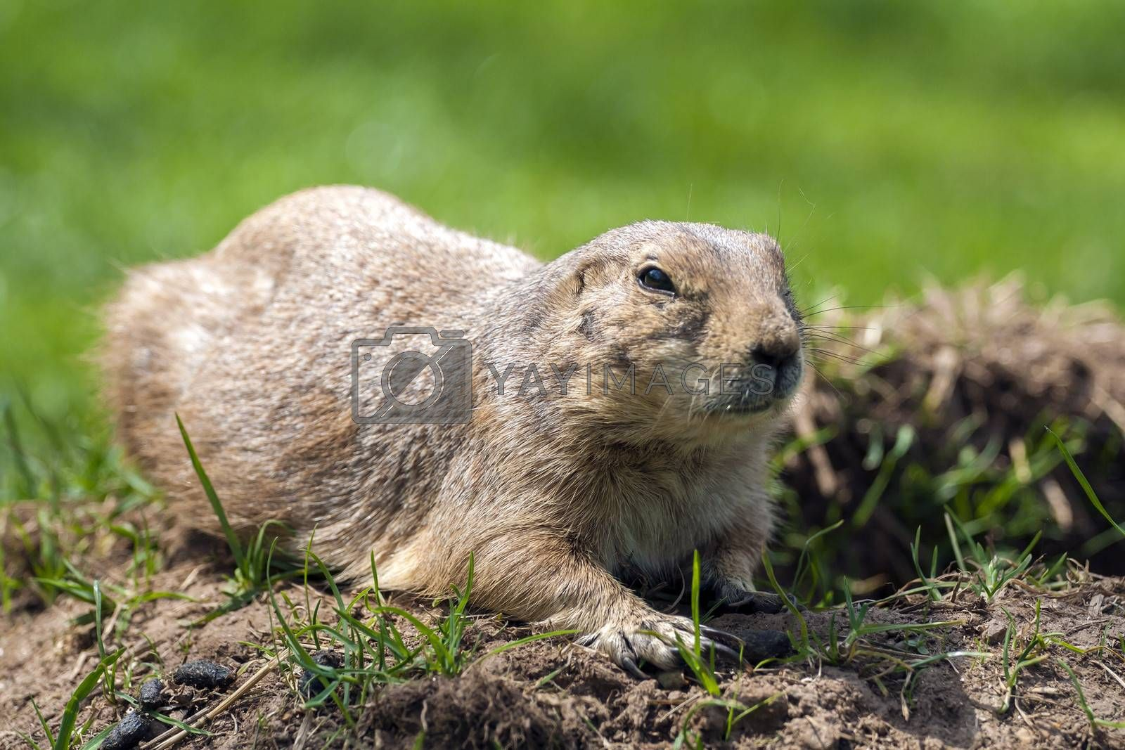 Cynomys ludovicianus or Prairie dog on the grass