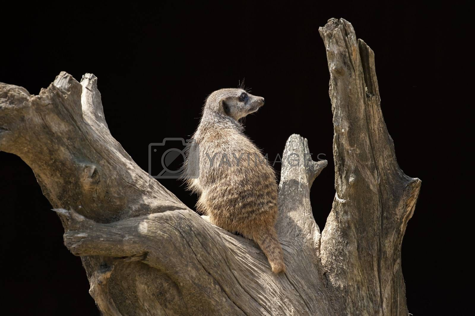 Suricata on the top of a tree