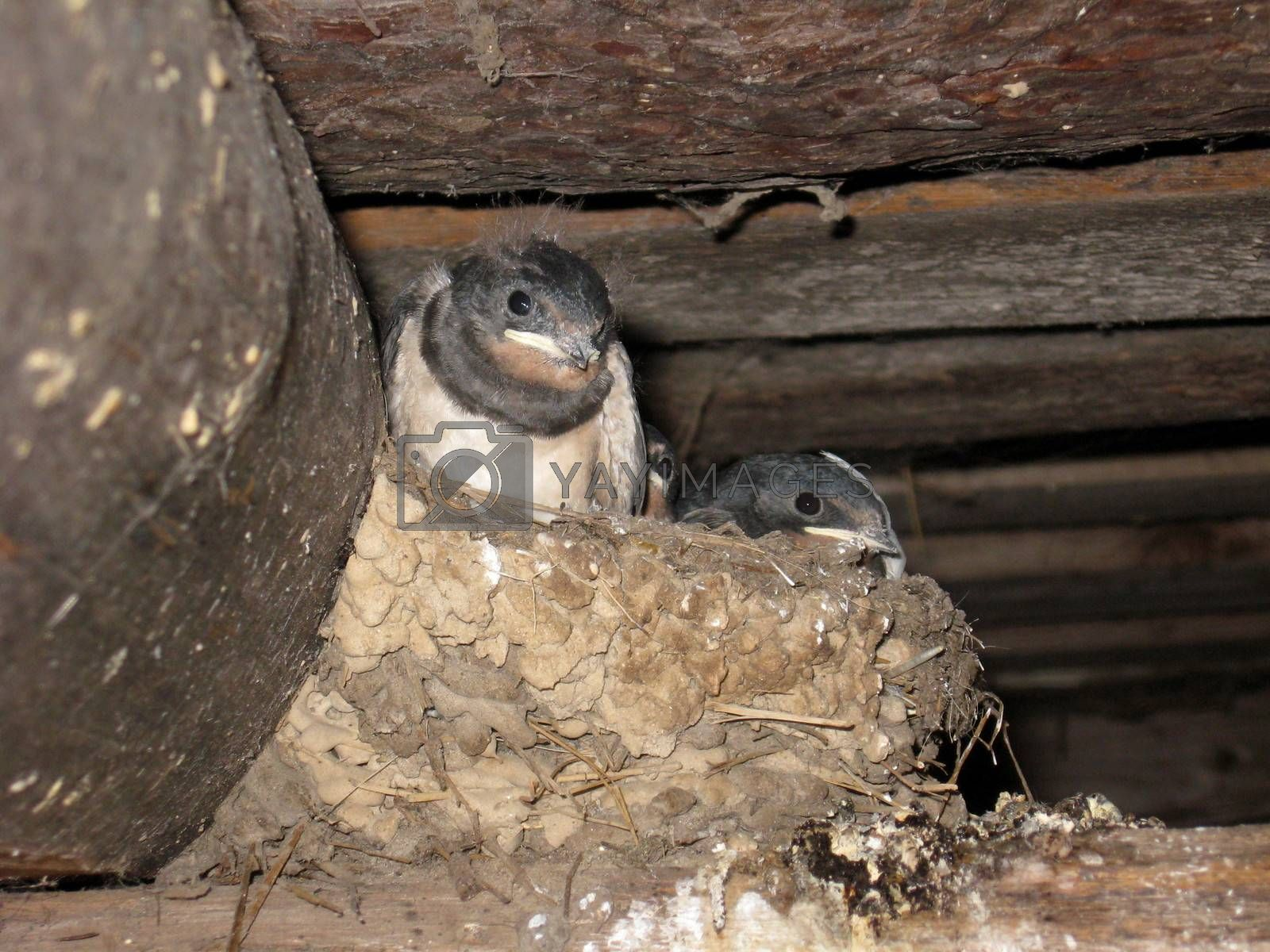 nest of swallow with parent and nestlings