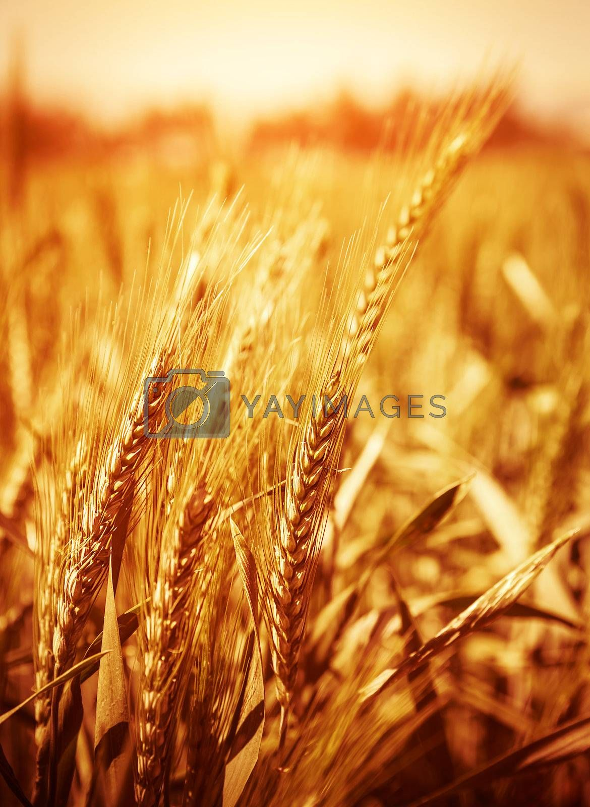Yellow wheat field background, warn sunset light, soft focus, autumnal nature, bread production, farmland, dry rye stems, harvesting concept