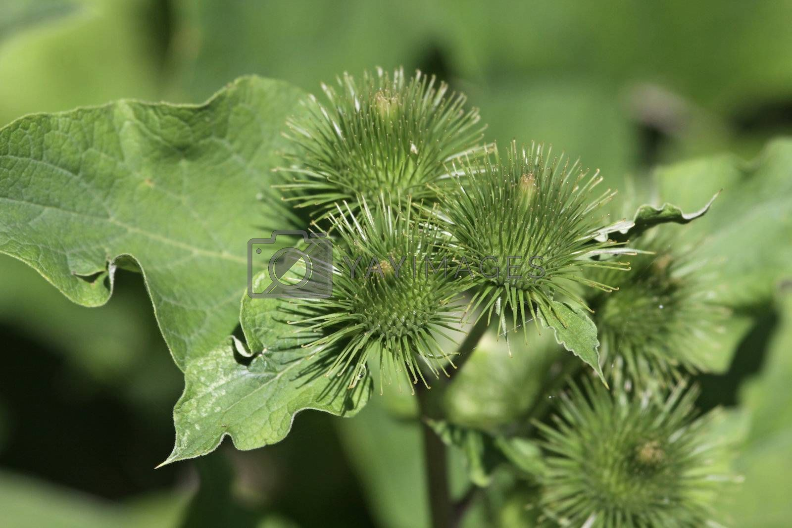 A blooming lesser burdock (Arctium minus) plant with burs on full display.  Shot in Southern Ontario, Canada.