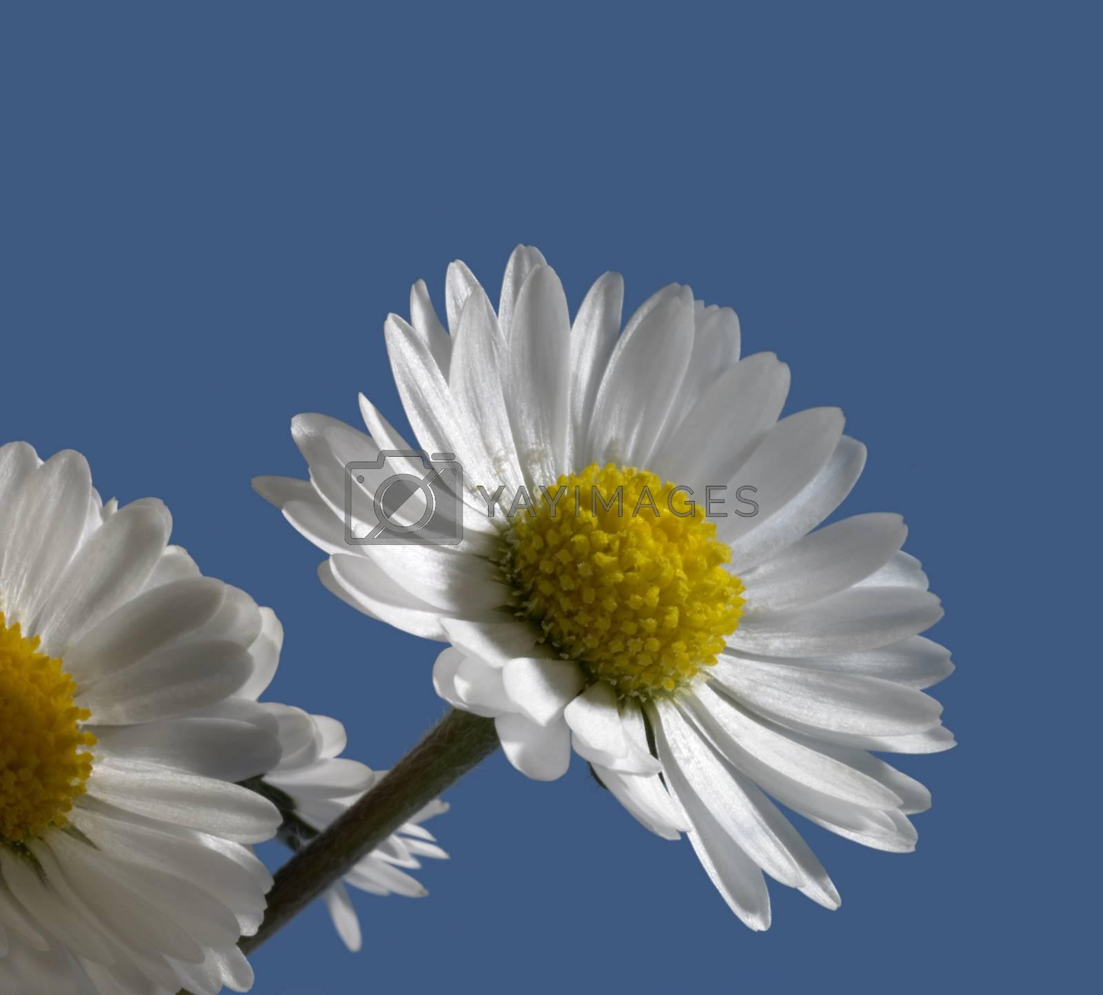 daisy flower closeup in blue back
