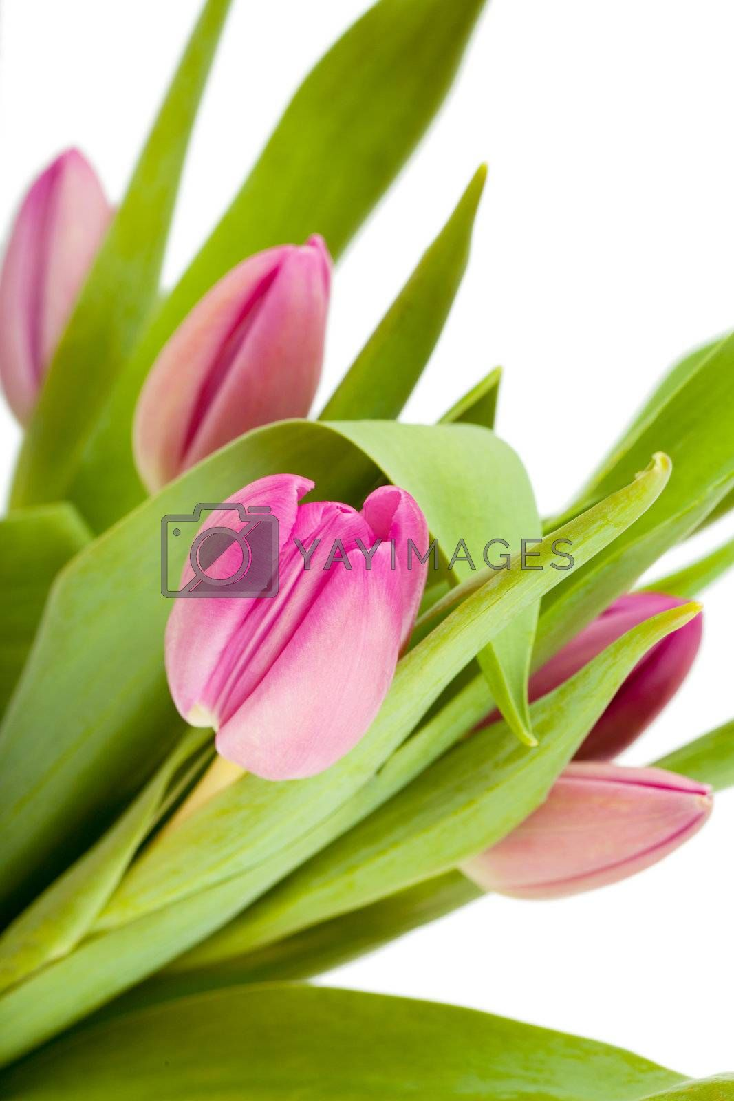 Fresh bouquet of tulips over white background