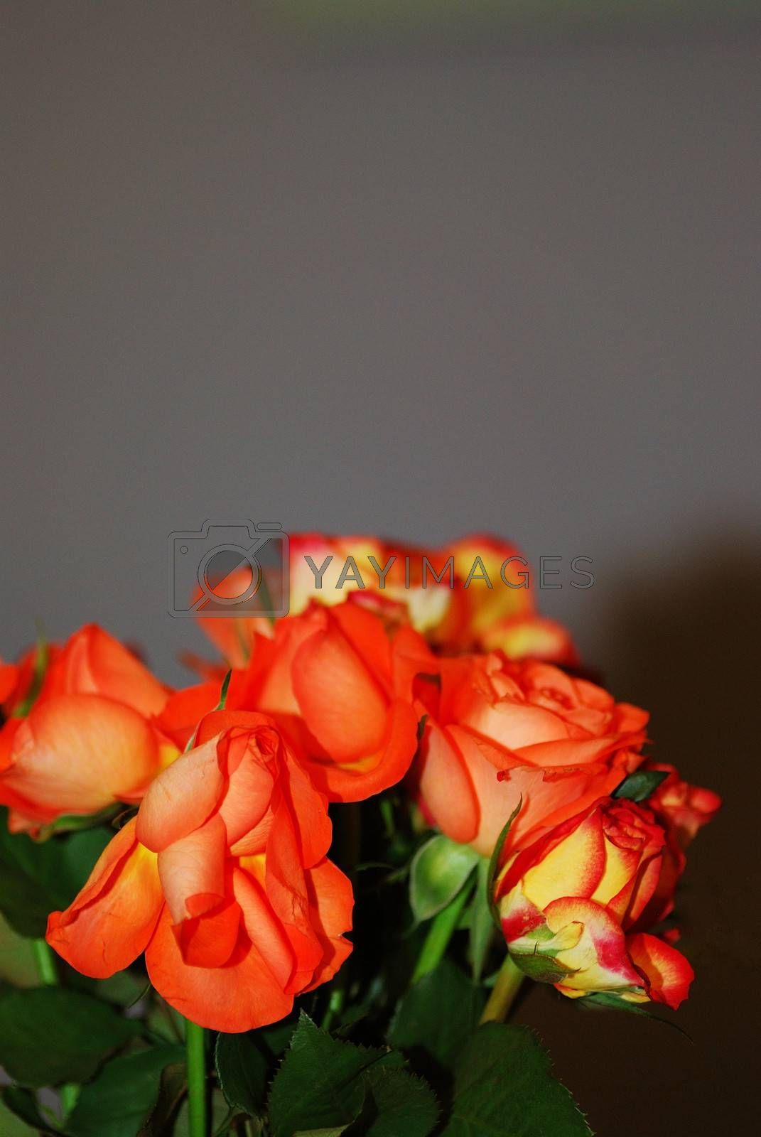 orange fresh roses background with portrait view