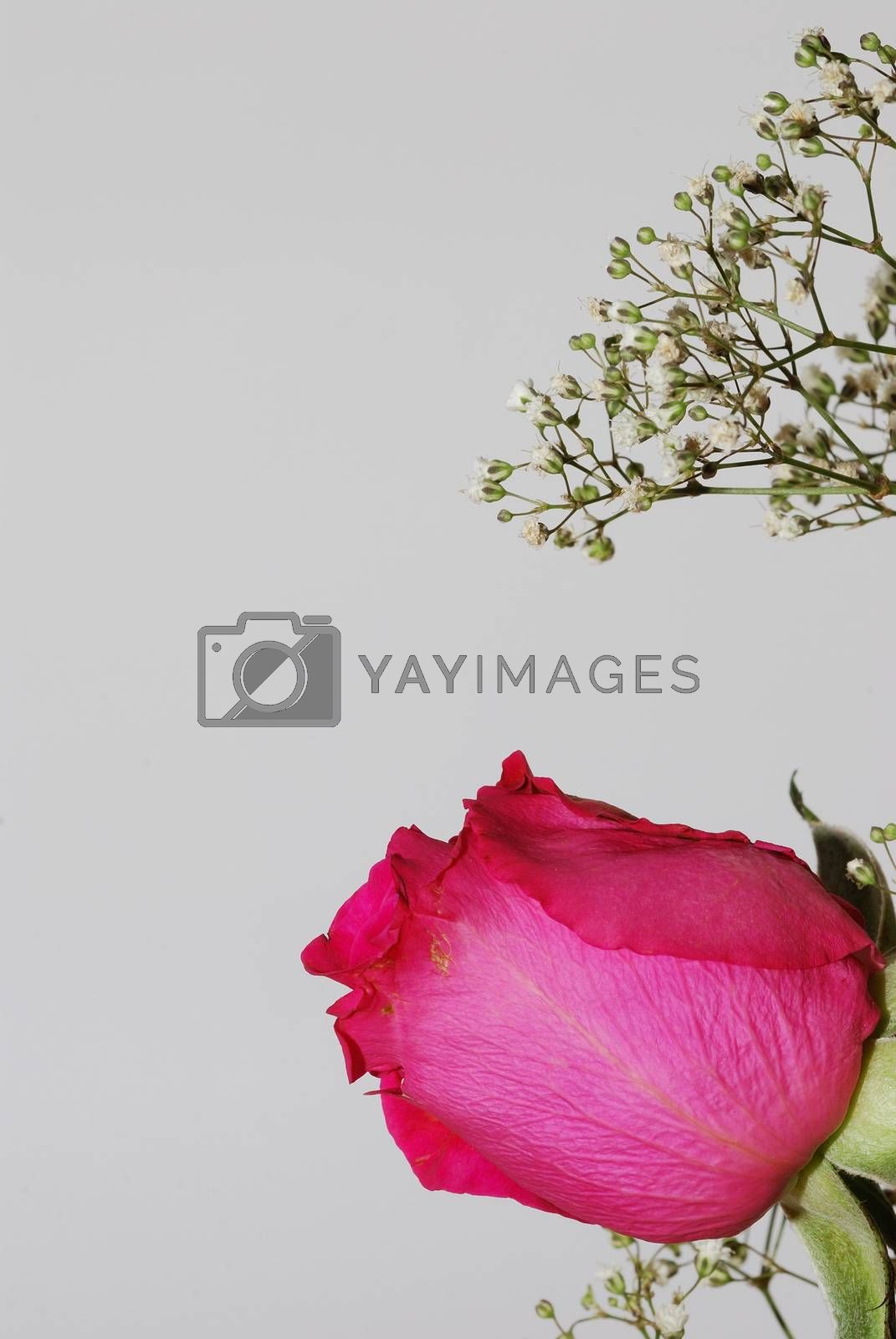 blossom of a pink rose on white background portrait format
