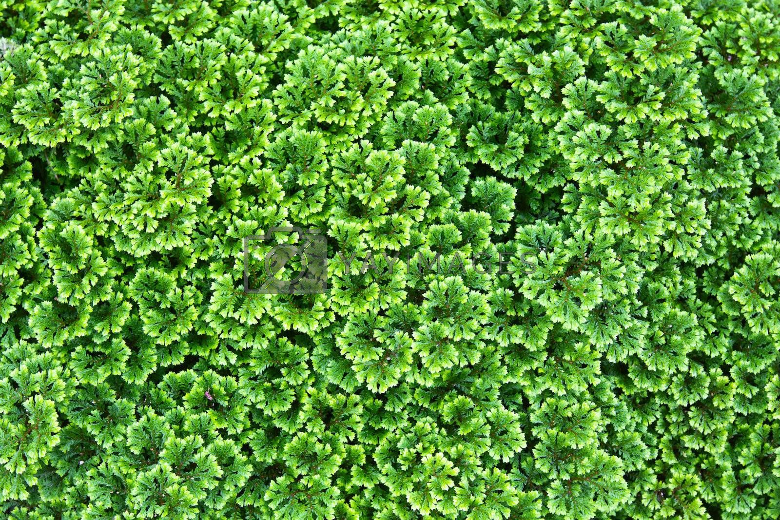 Green background of the ground cover plants
