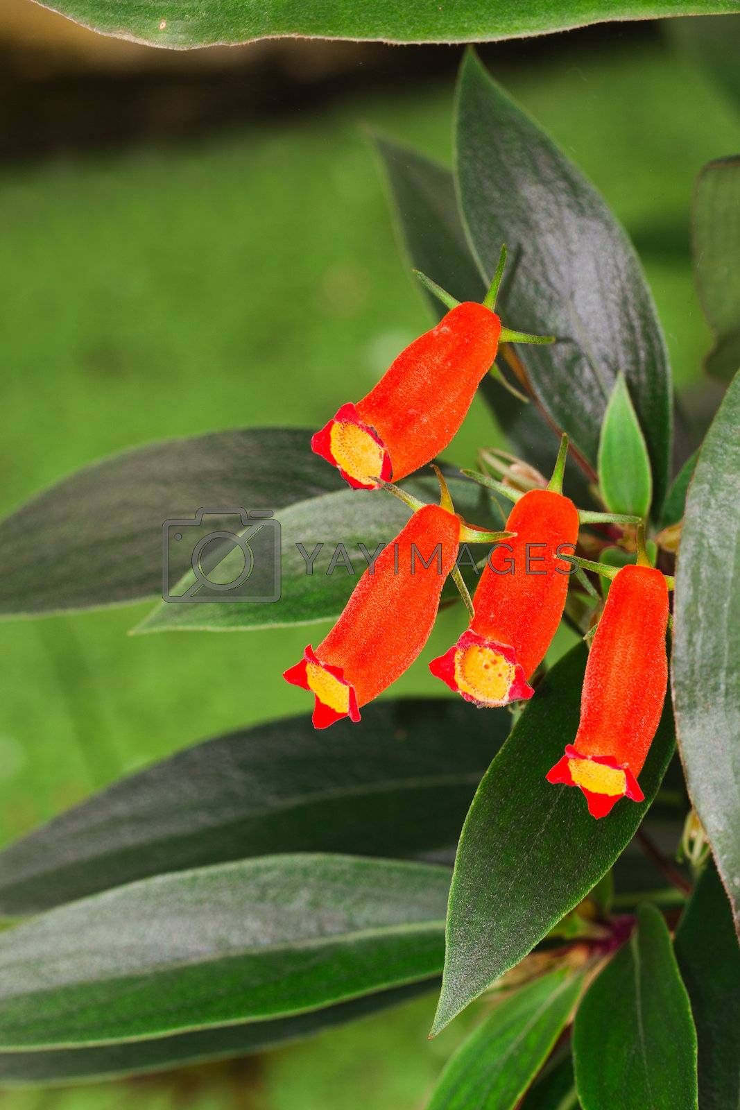 Secmannia latifolia fitsch, Red flowers in nursery.