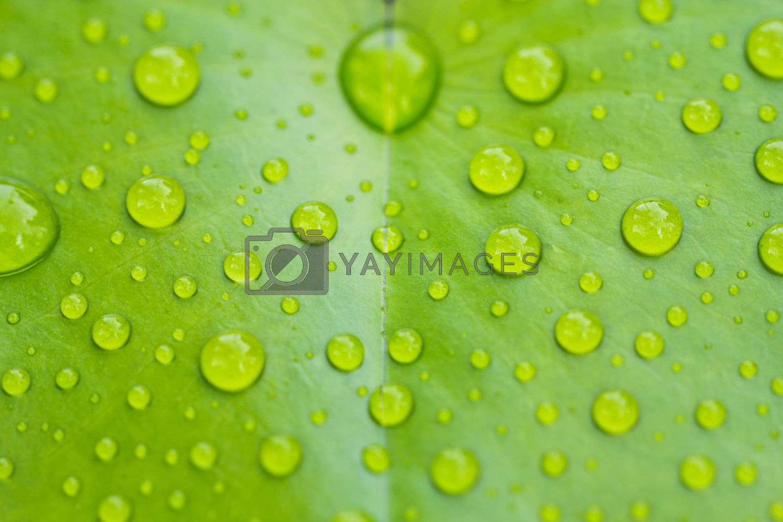 Rain drop on the lotus leaf, nice for background
