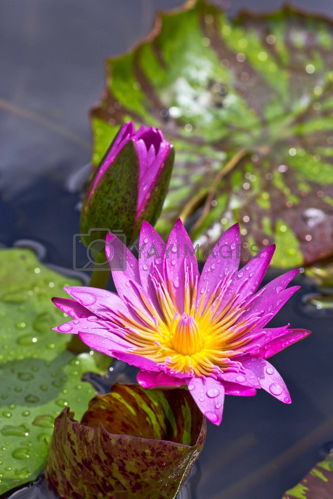 Blooming lotus in the basin after rained