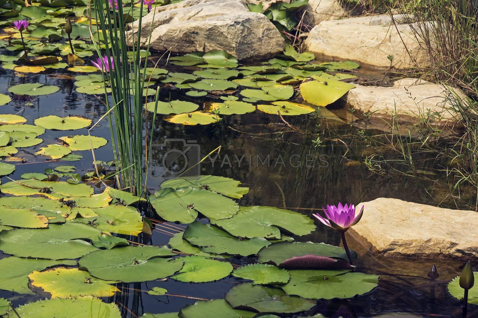 Lotus in full bloom in the pond
