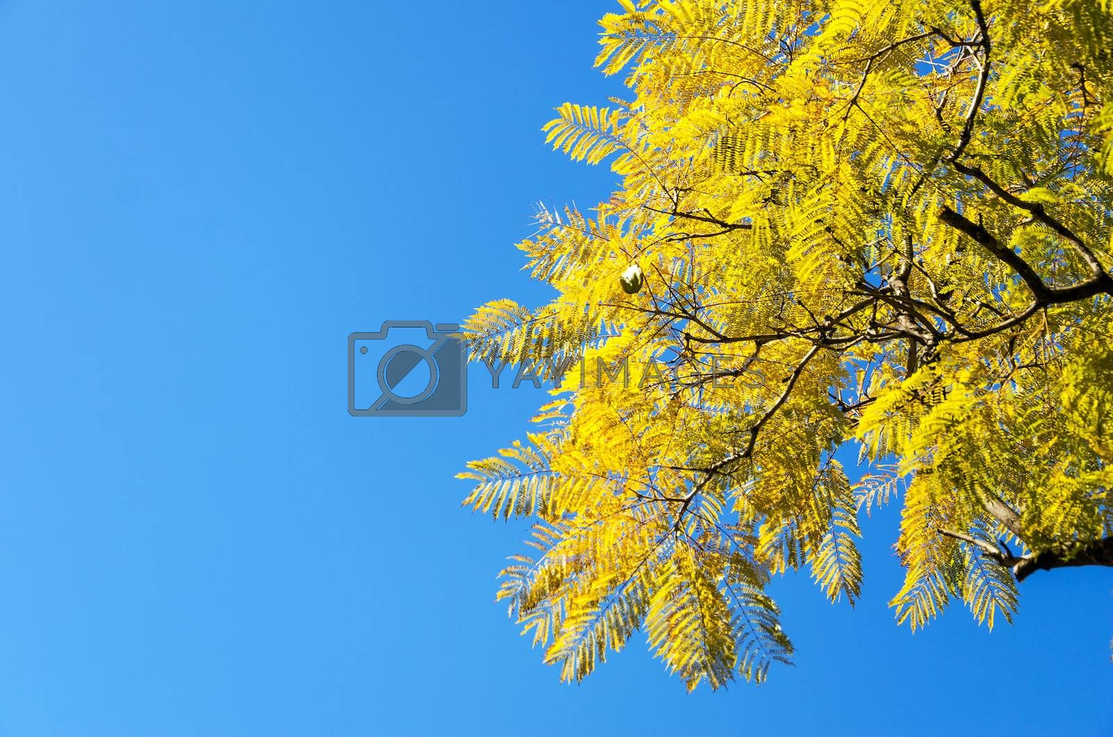 Yellowish leaves on a tree against a beautiful blue sky