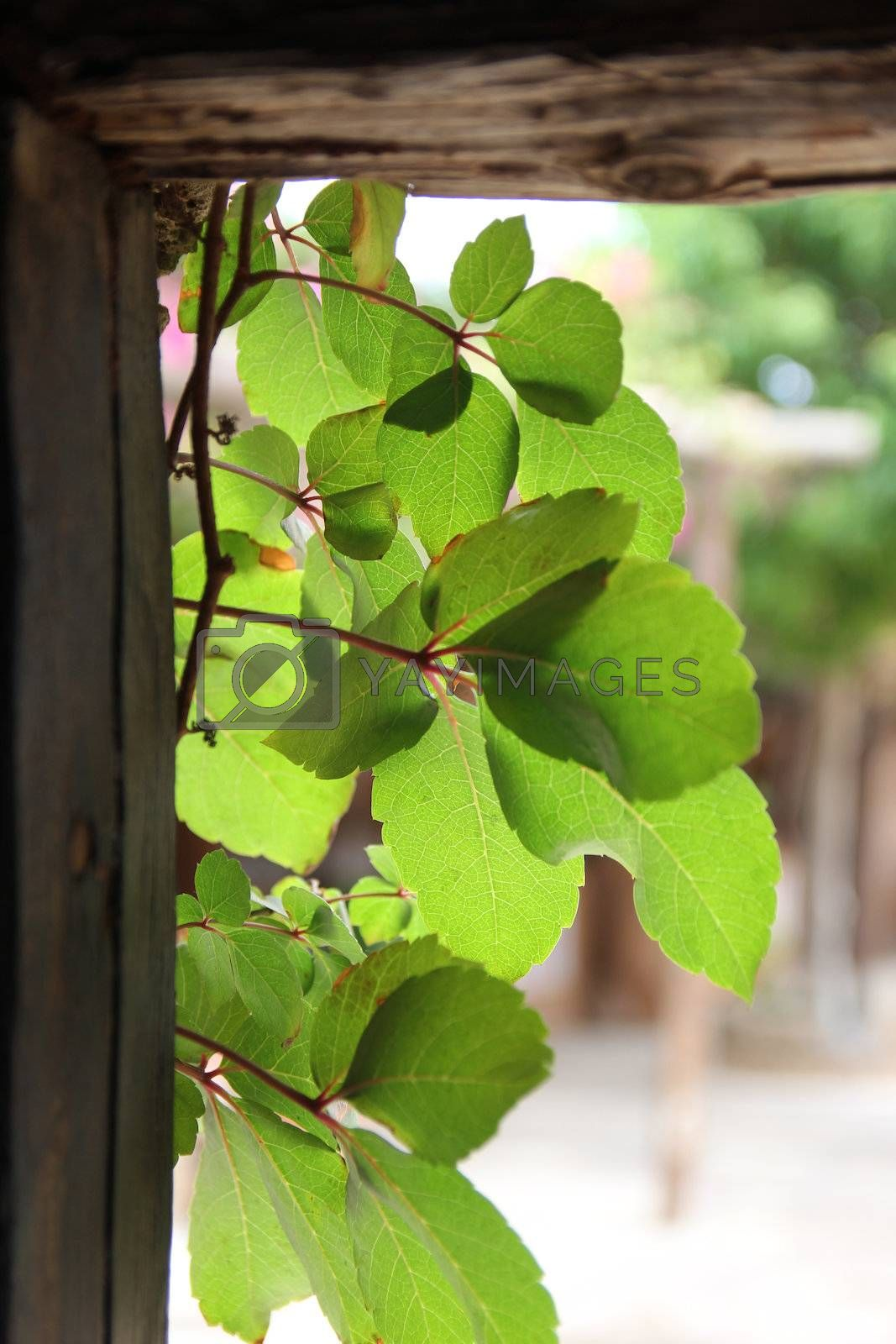 green branches in the doorway of a village house