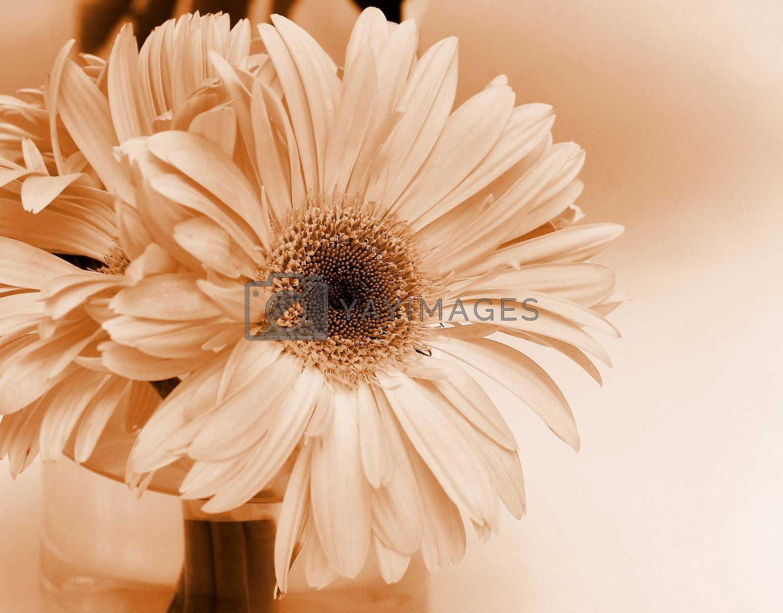 Close up gerbera flower in a vase