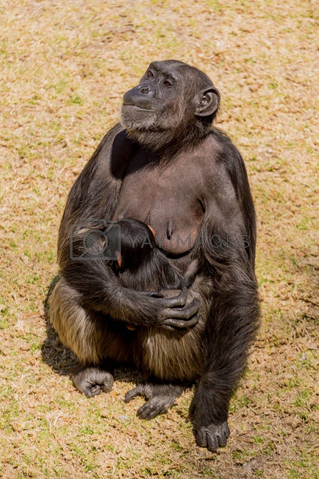 A female adult chimp sitting down and cuddling her baby