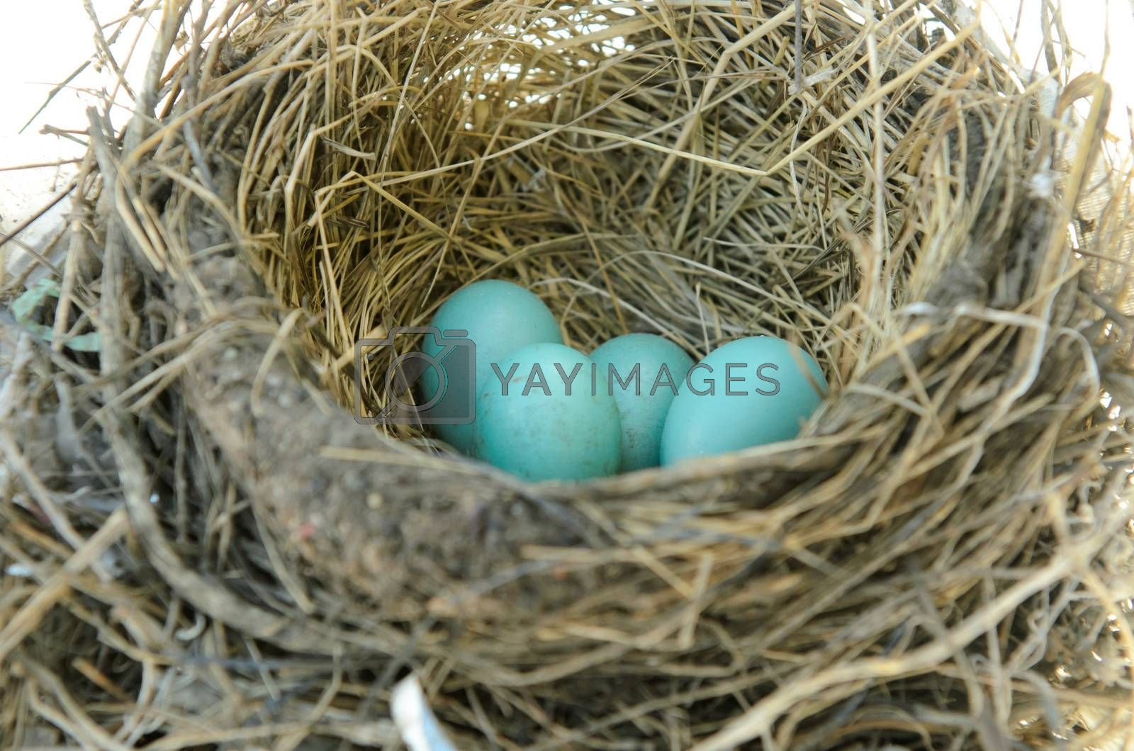 Robins nest with 4 eggs in it. Isolated on a white background.