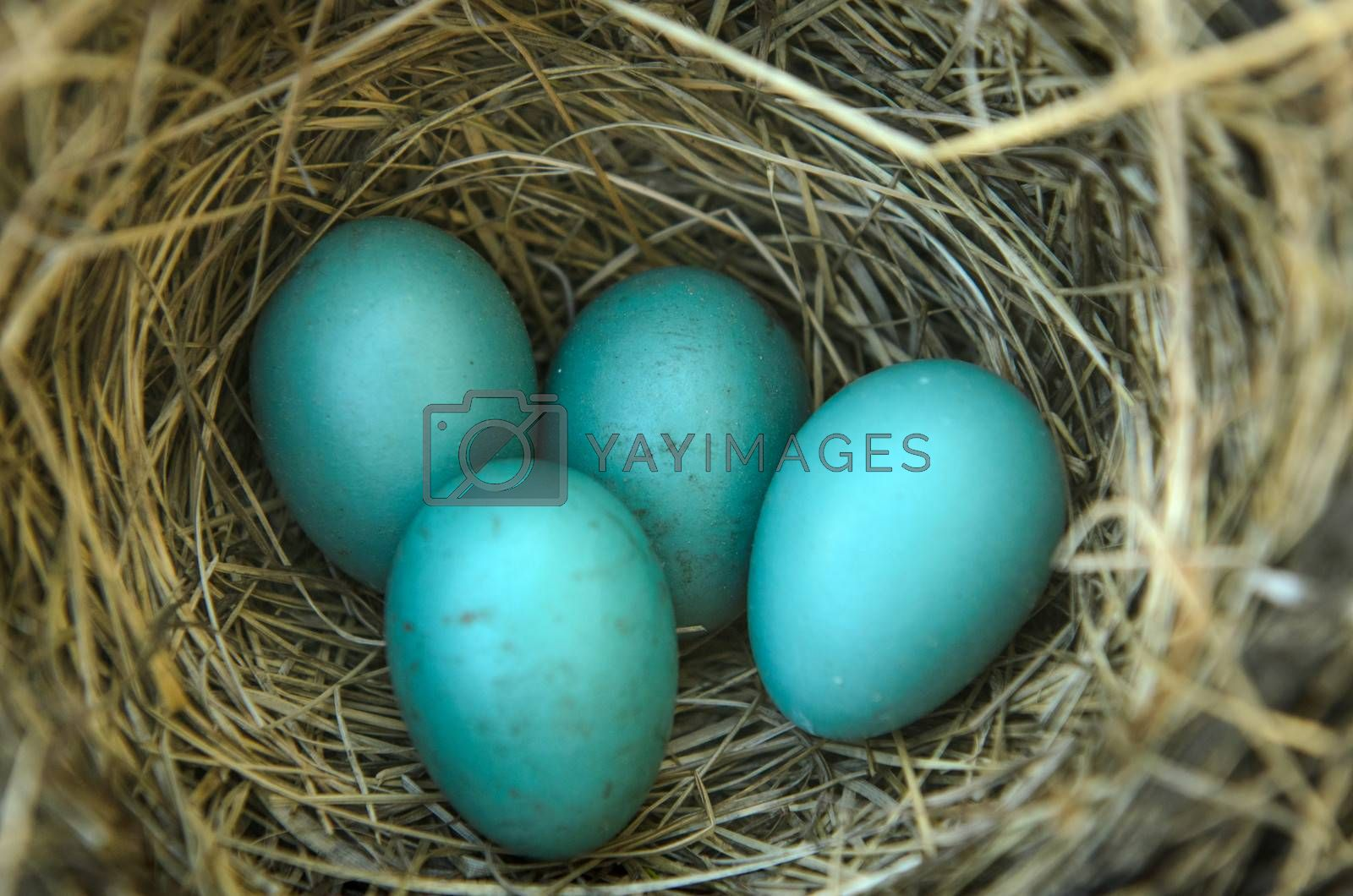Close-up of a robins nest with 4 eggs in it.