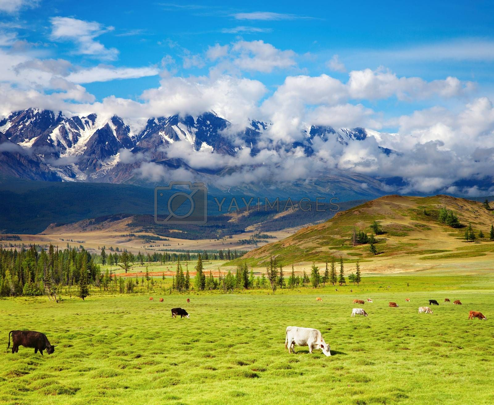 Landscape with snowy mountains and grazing cows