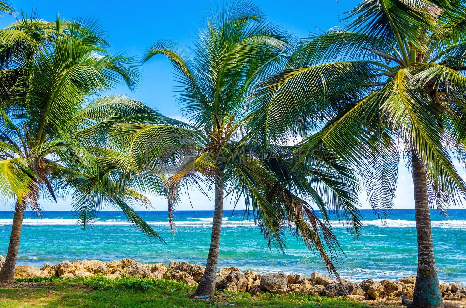 Palms trees on Caribbean Sea on the shore of San Andres y Providencia, Colombia