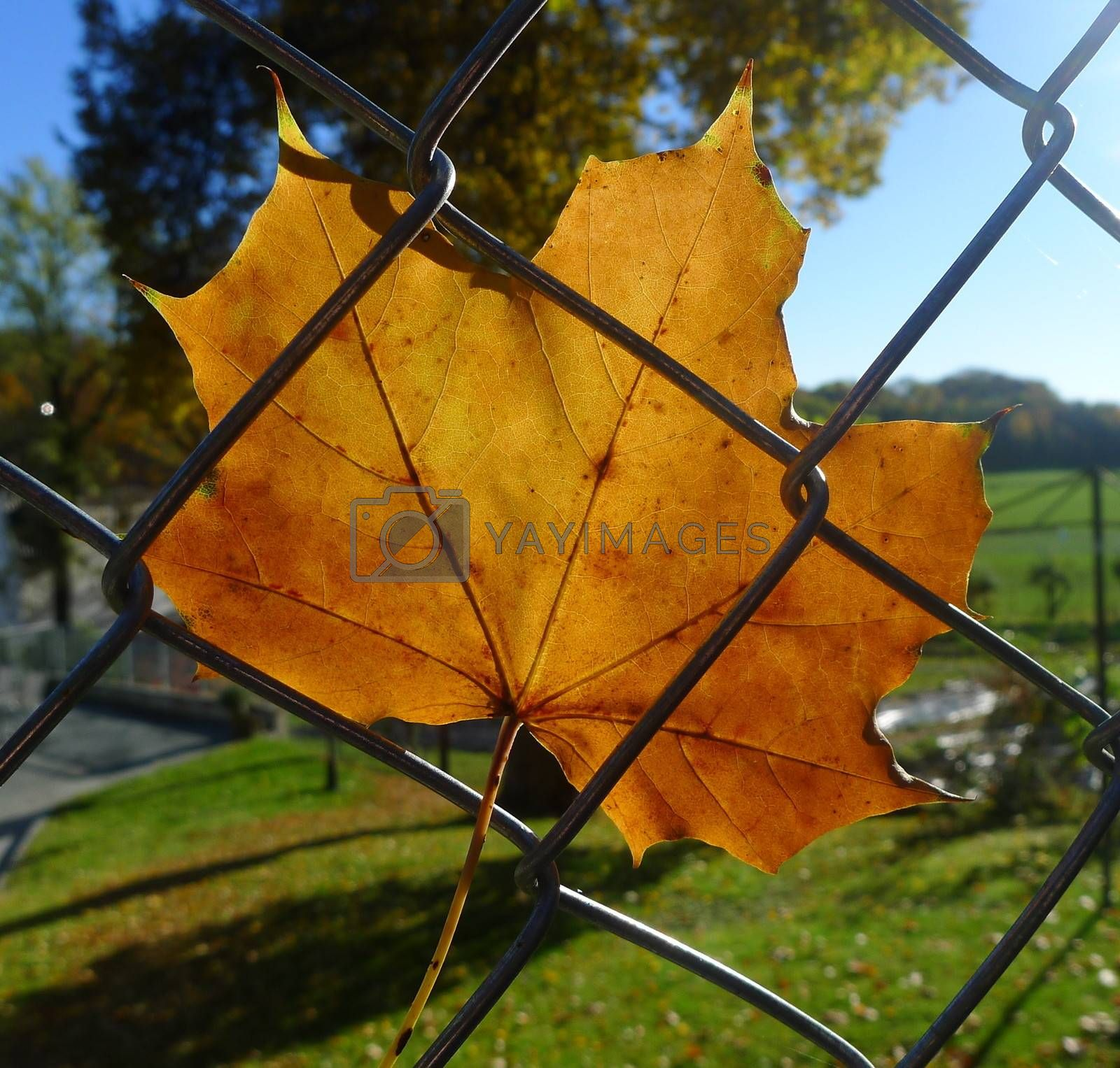 Autumn leaf on fence