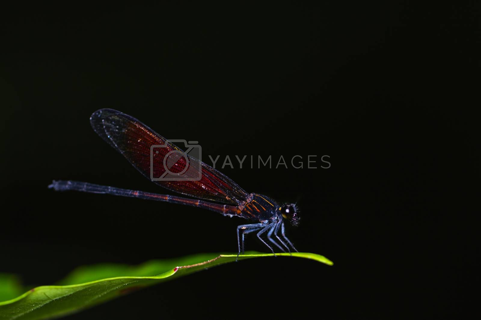 Dragonfly on a leaf tree in natural with black background