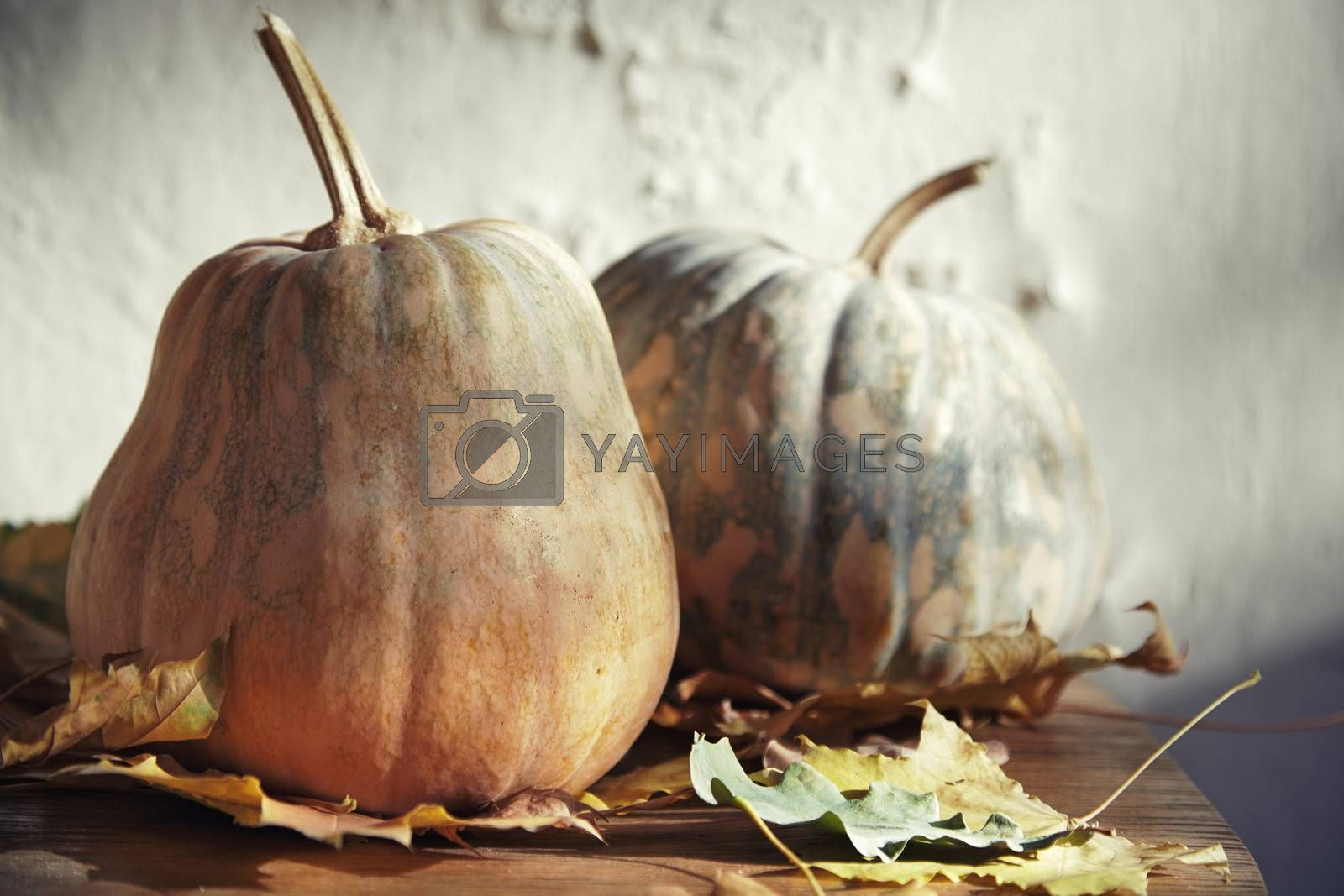 Pumpkins for Halloween with autumn leaves. Horizontal photo